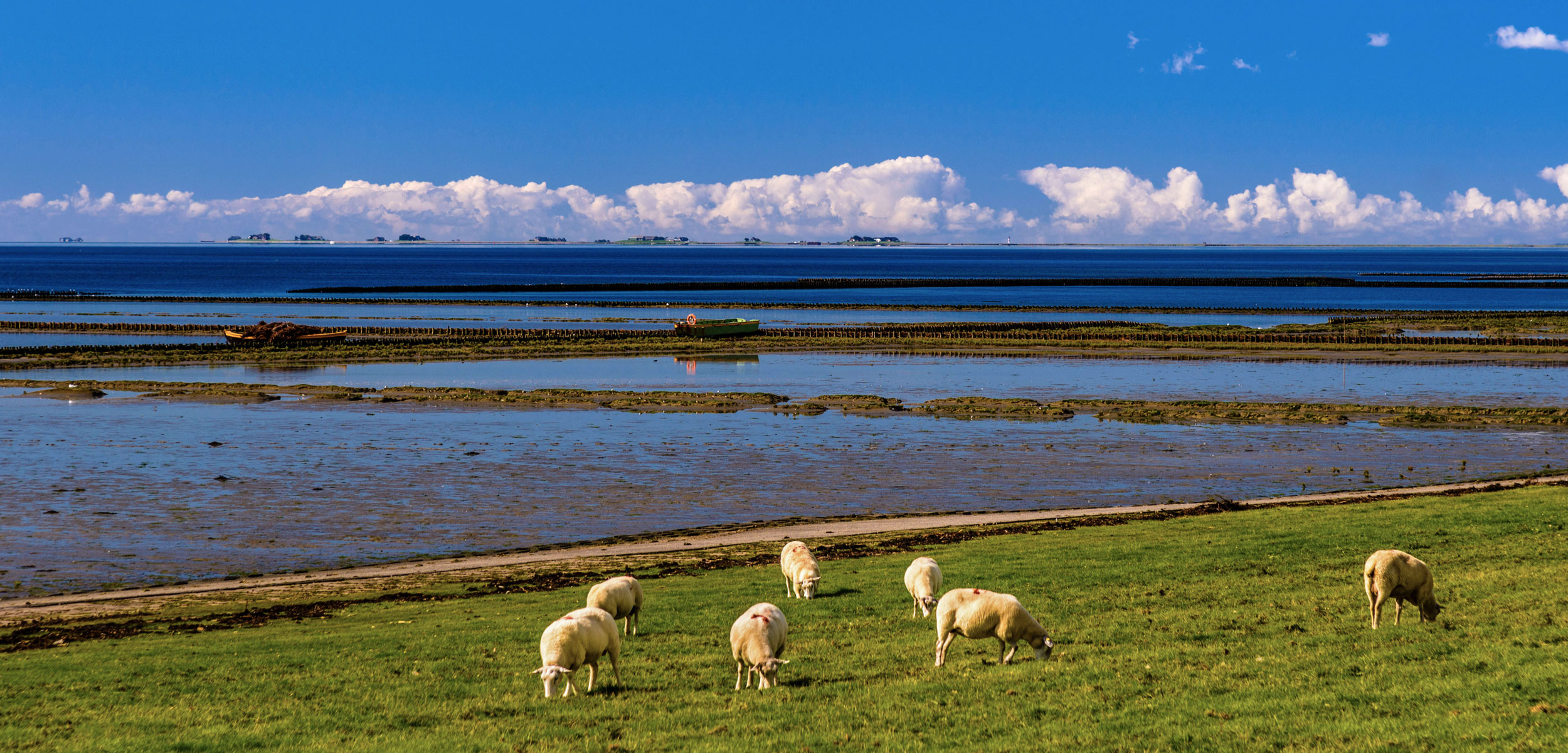 sheep grazing on the Wadden Sea