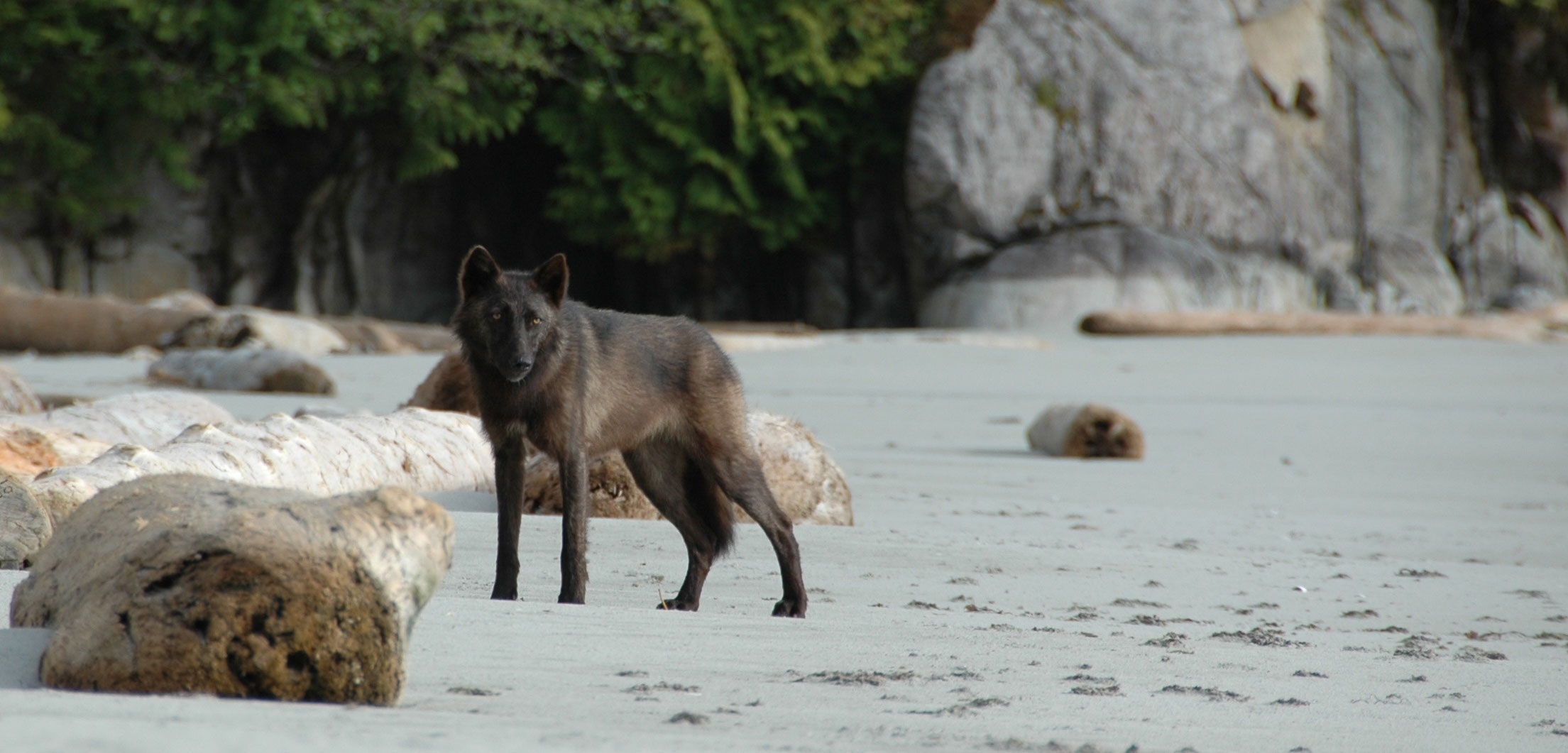 coastal wolf on a beach