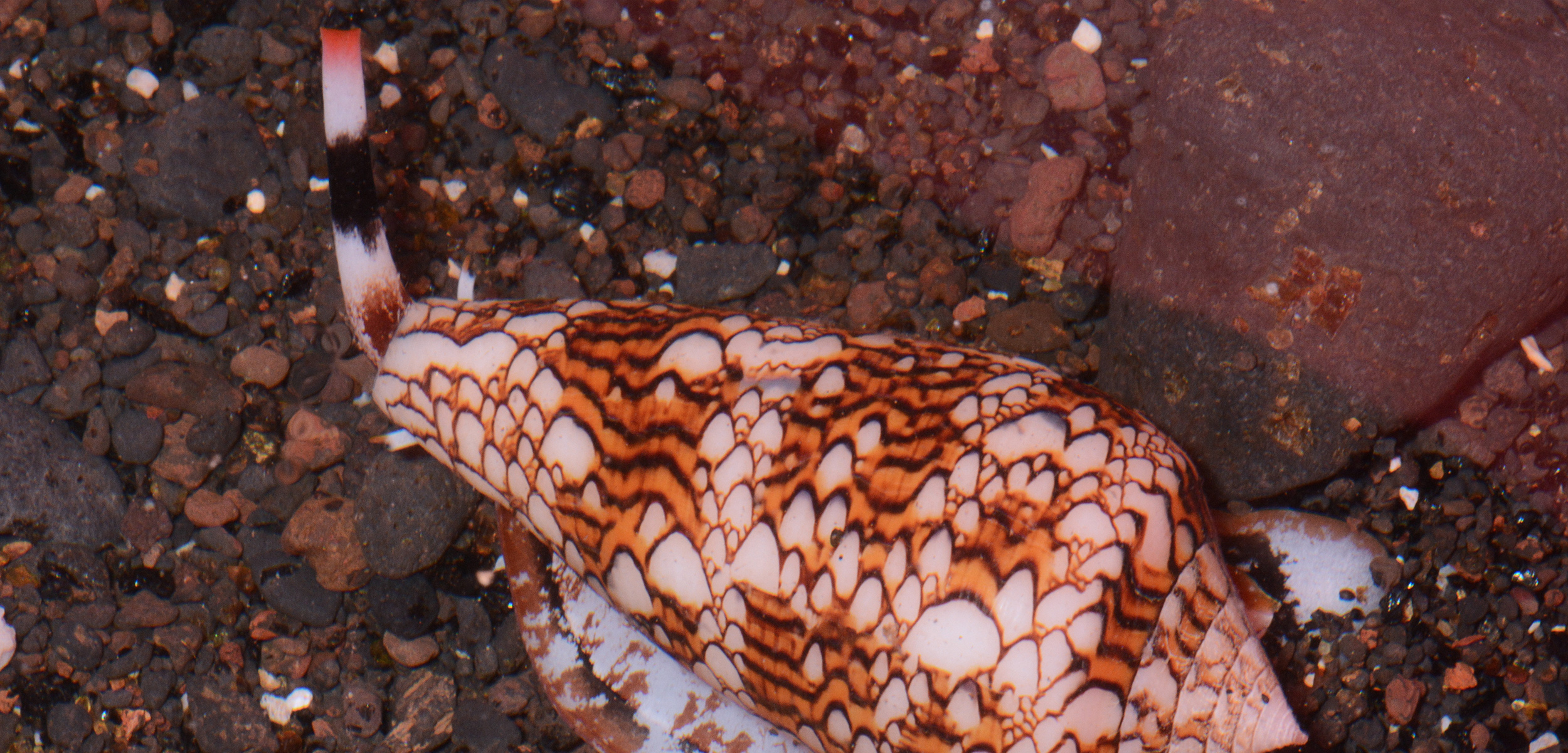 Cone snails such as the cobweb cone snail and the textile cone snail (pictured here) have become the darlings of biomedical research. Photo by David Massemin/Biosphoto/Corbis