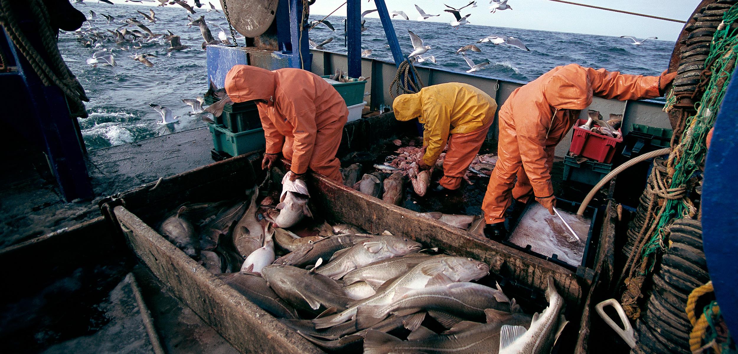 Resultado de imagem para atlantic cod fishing