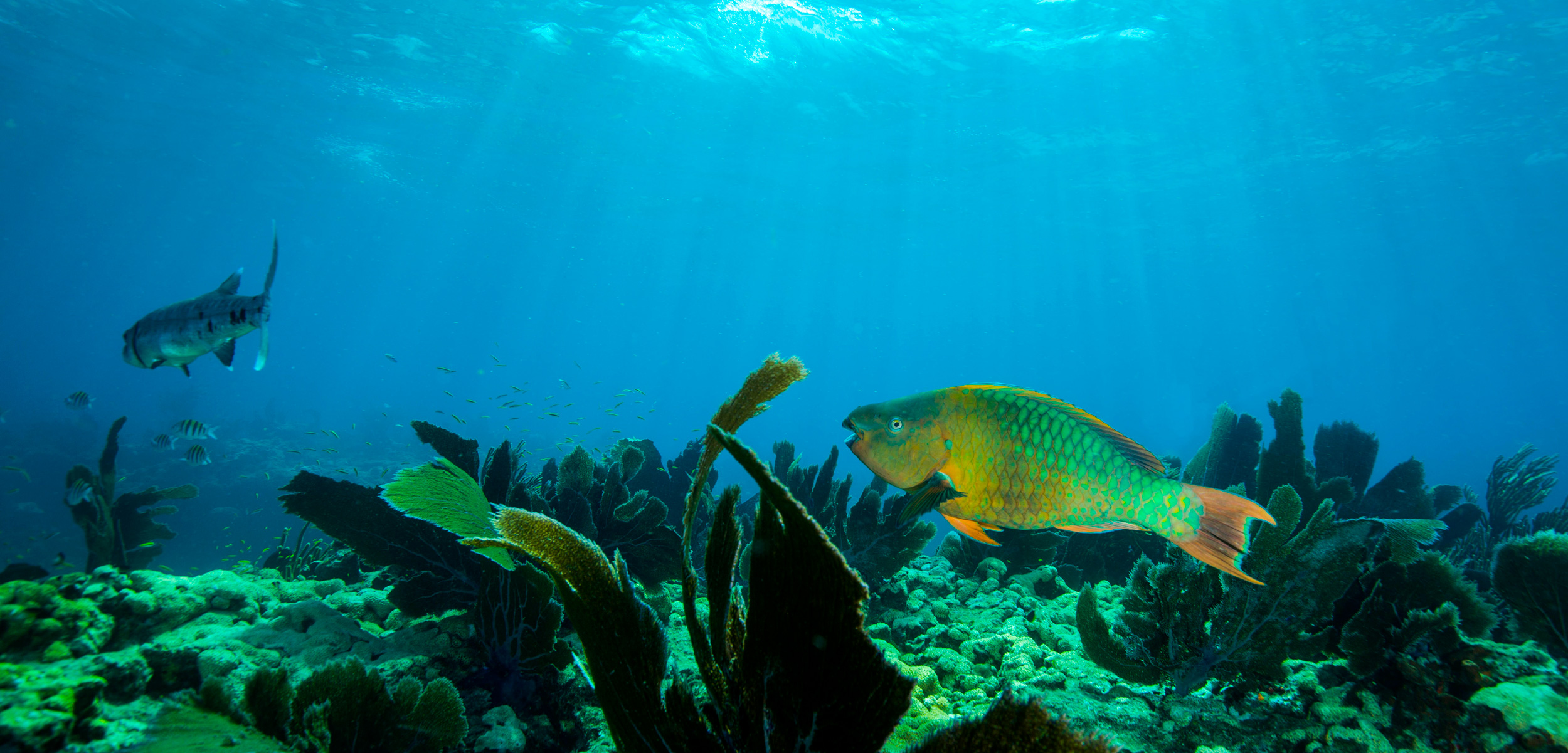 Rainbow parrotfish (Scarus guacamaia) swimming above coral reef