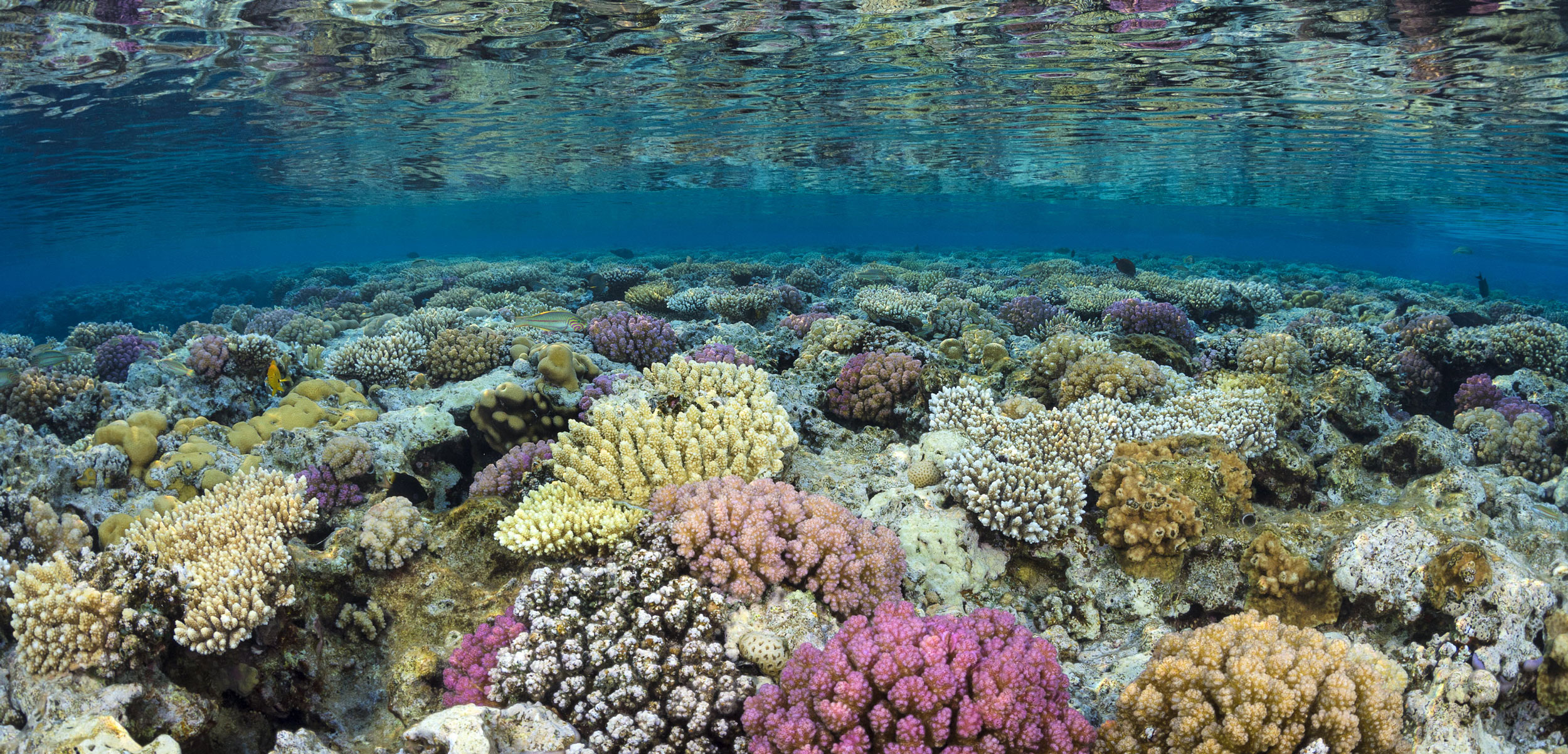 coral reef, Gulf of Aqaba, Red Sea