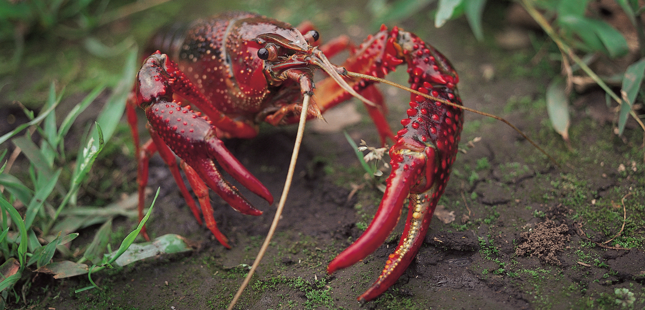 The red swamp is an invasive species of crayfish in Pine Lake, near Seattle, Washington. Photo by Modoki Masuda/Minden Pictures