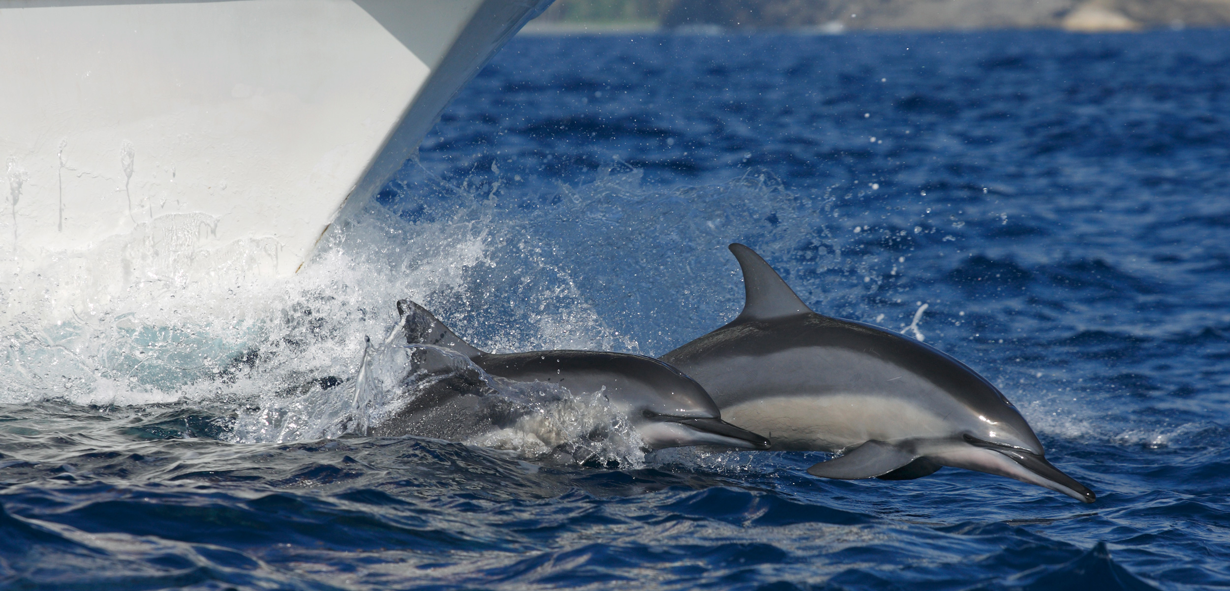 Spinner Dolphin (Stenella longirostris) pair bow riding