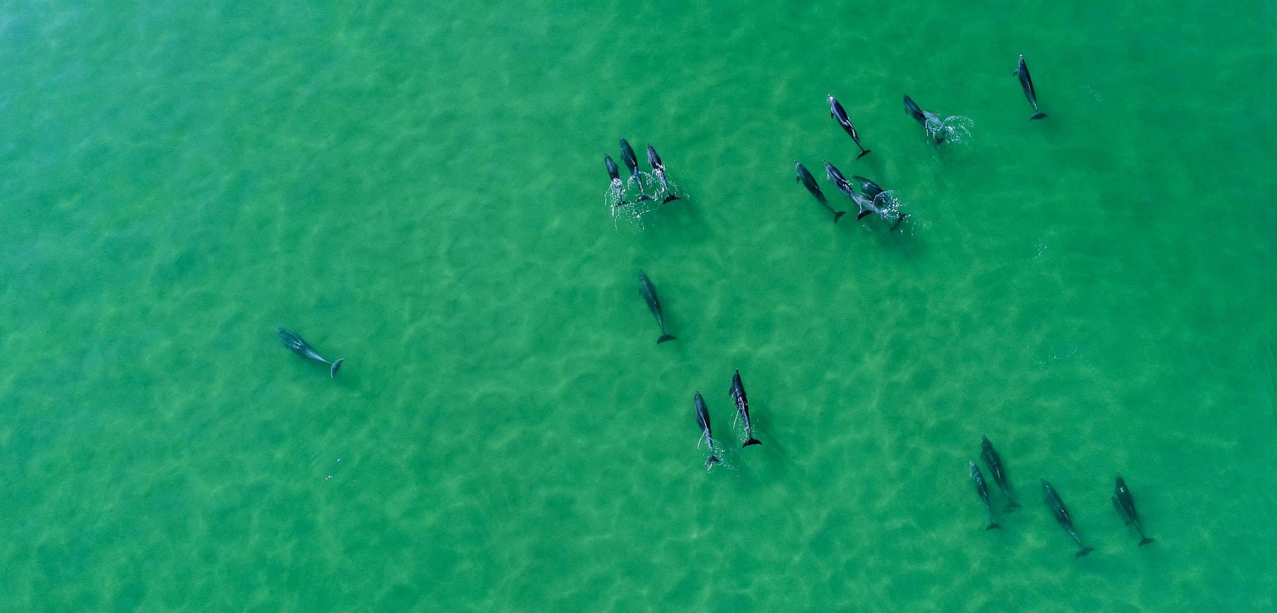 aerial photo of bottlenose dolphins