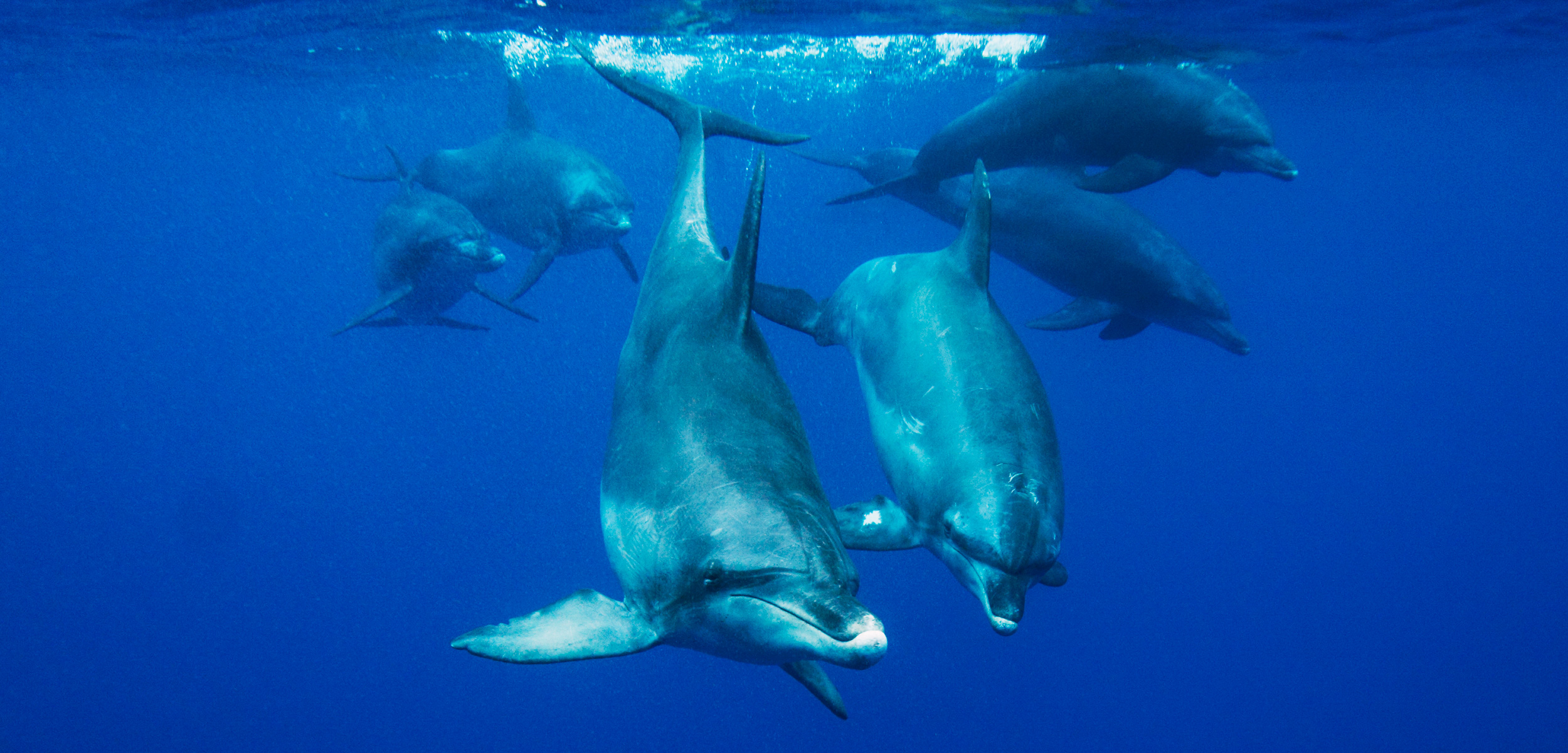 The stress of diving could tax dolphins and other marine mammals to the brink. Photo by Hiroya Minakuchi/Minden Pictures