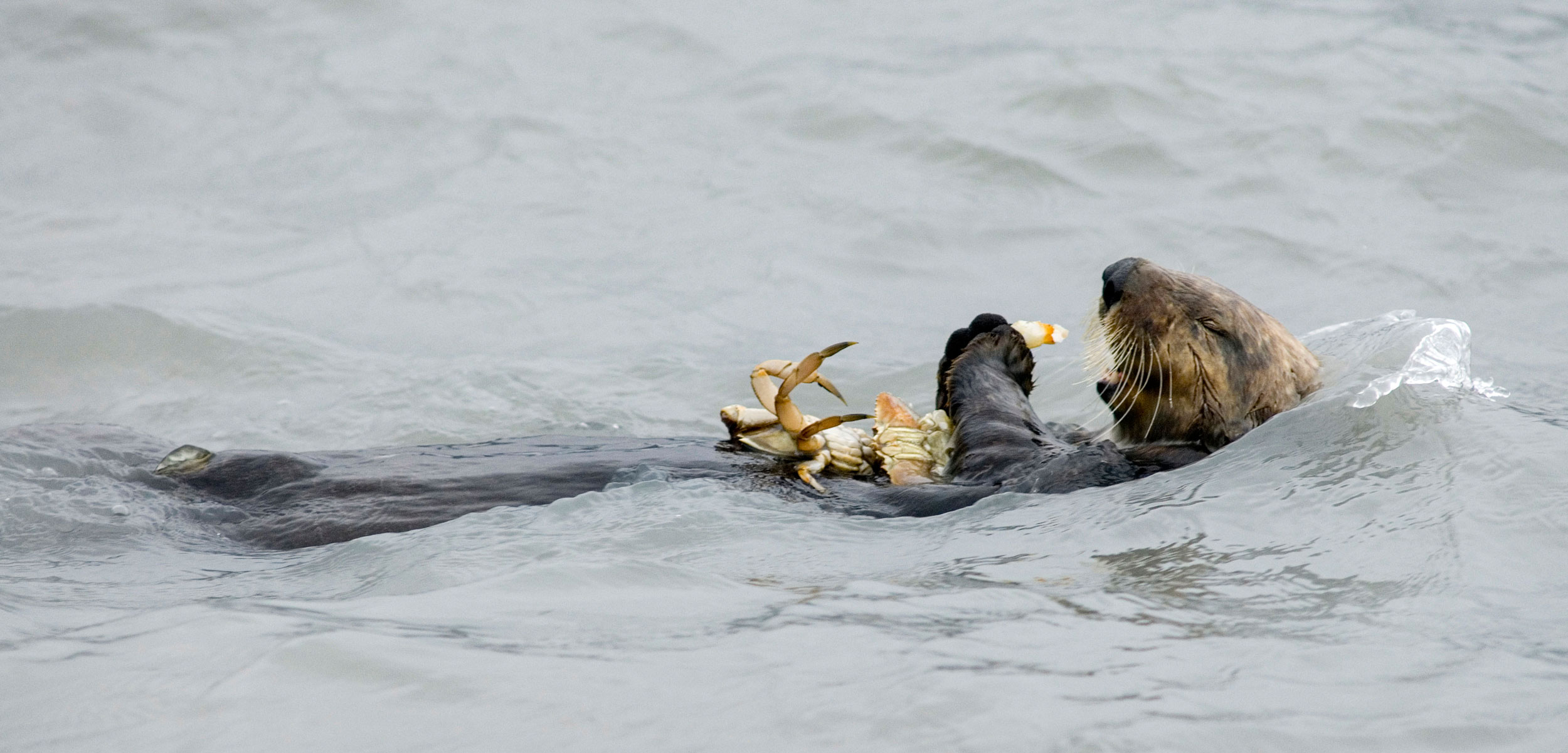 Sea otter (Enhydra lutris) eating a dungeness crab
