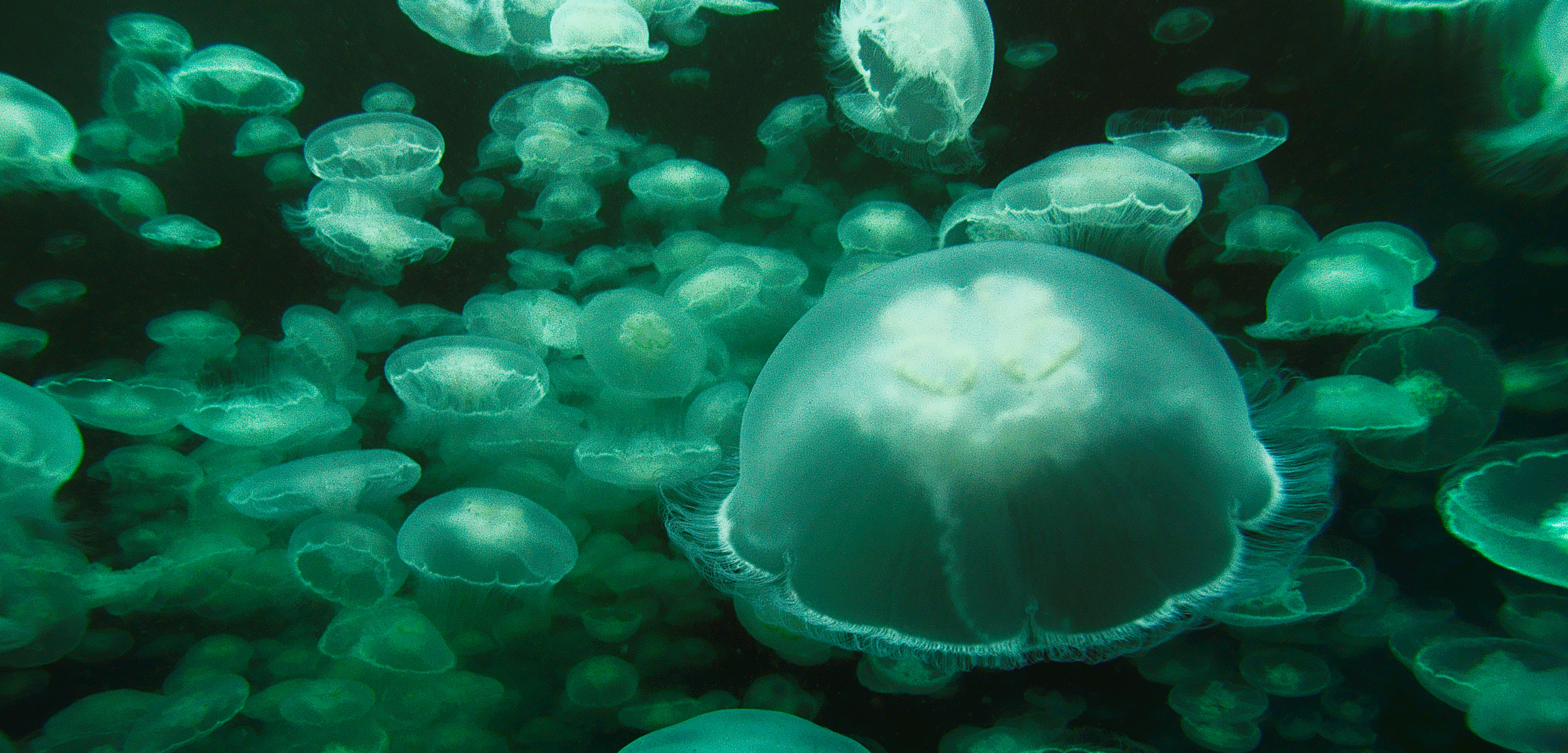 swarm of moon jellies