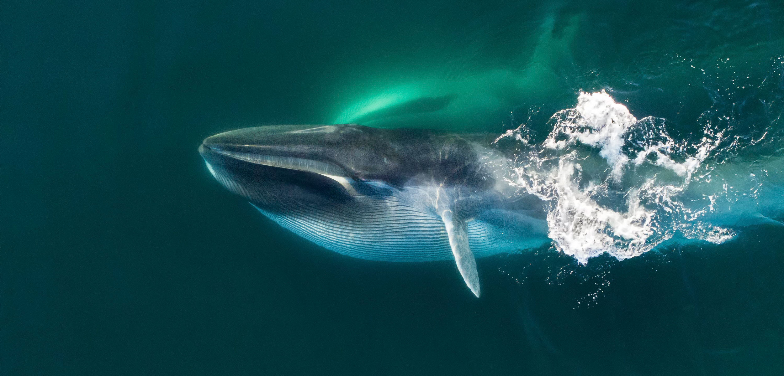 Aerial view of Fin whale (Balaenoptera physalus) lunge-feeding