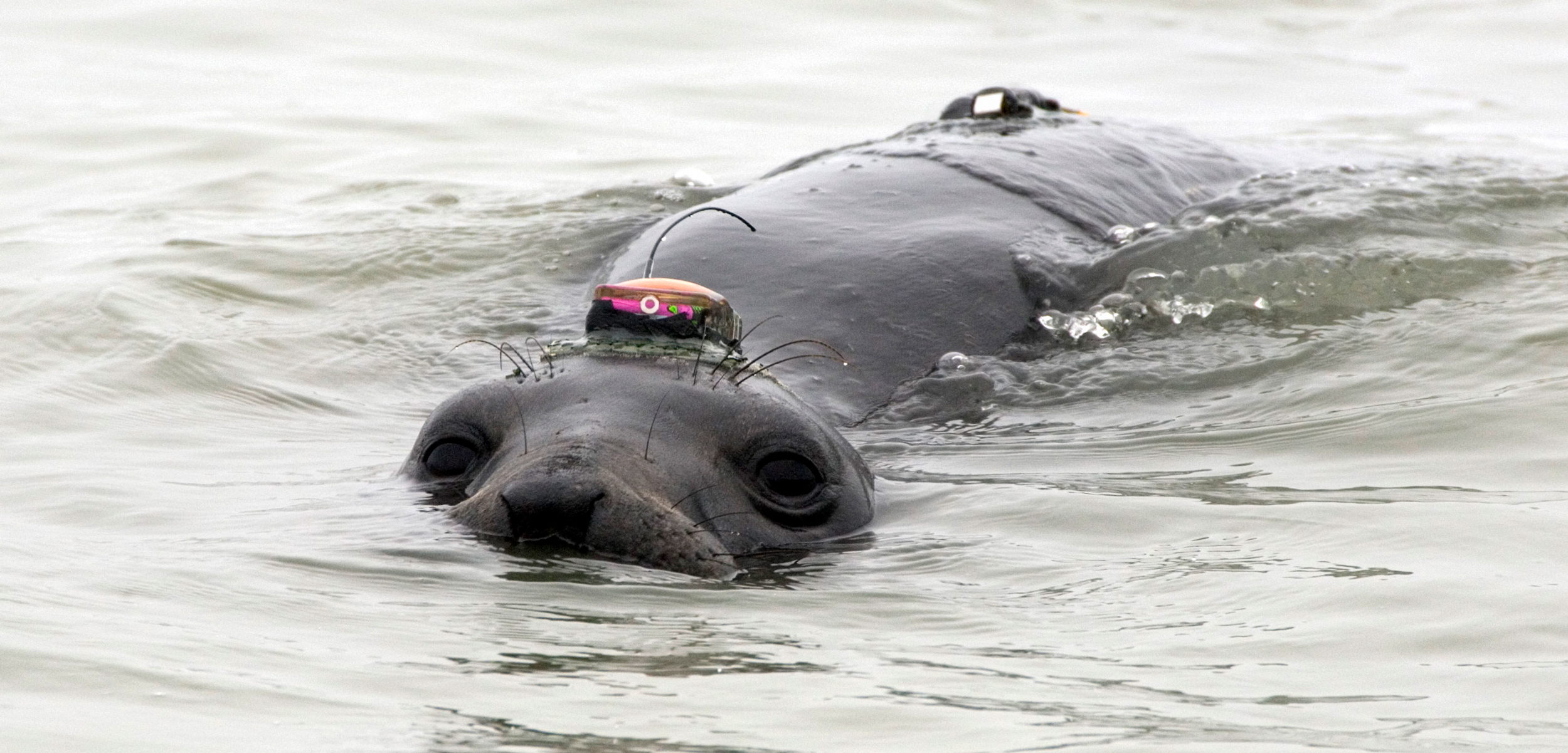 elephant seal with GPS tracker