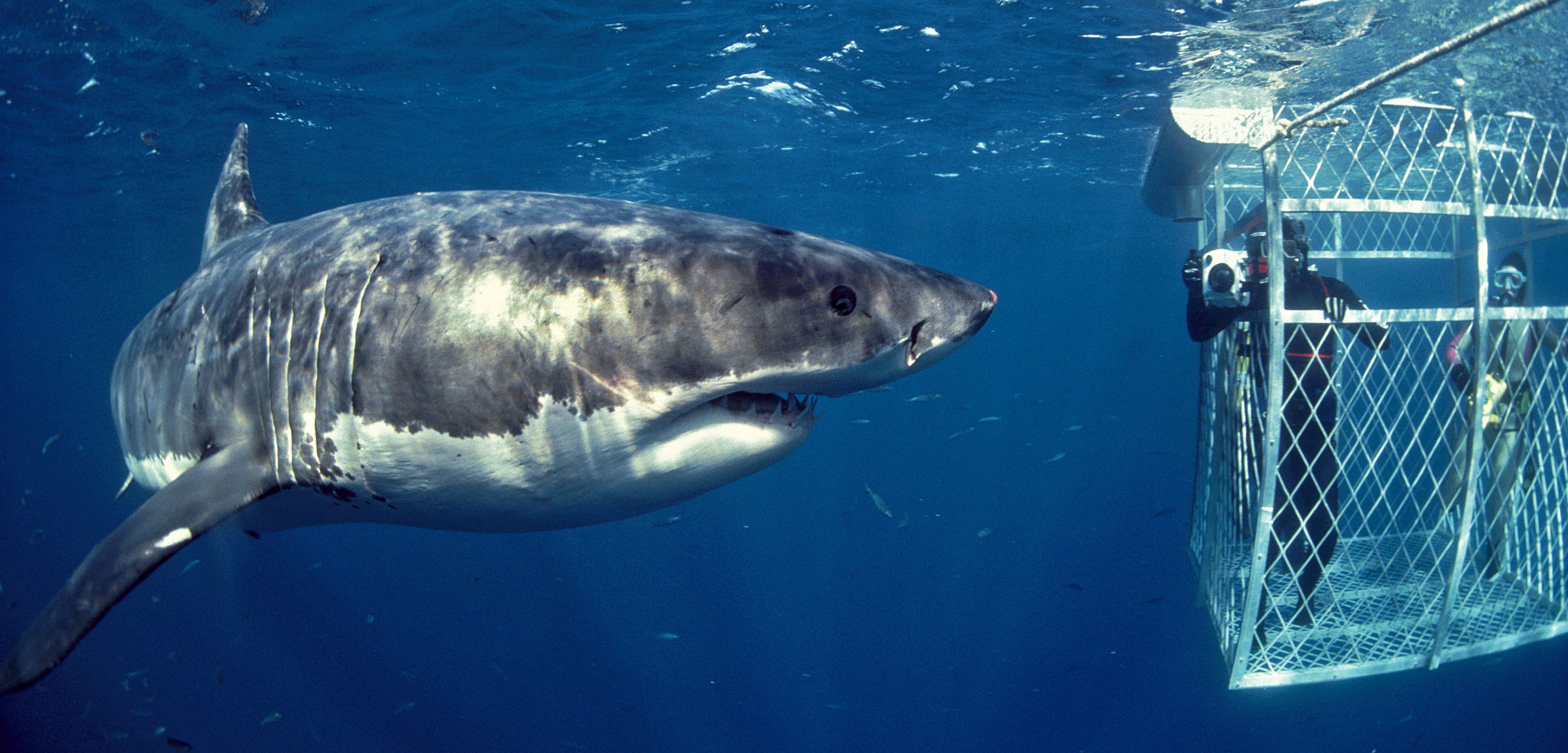 great white shark and diver in cage