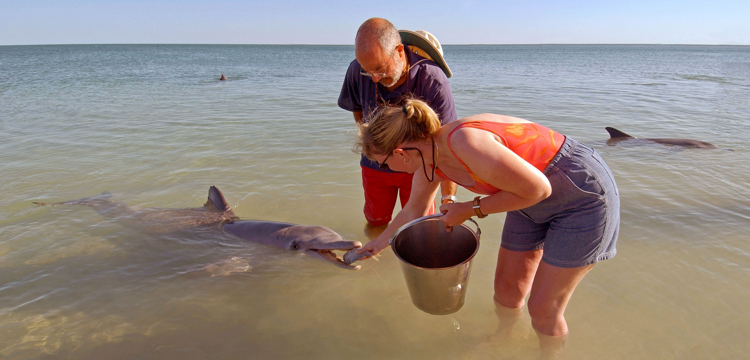 A tourist feeding fish to a Dolphin at Monkey Mia Dolphin Resort in Western Australia