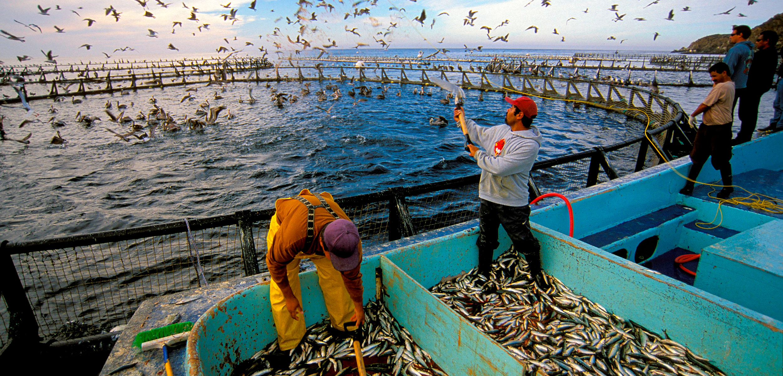 workers feed fish at fish farm