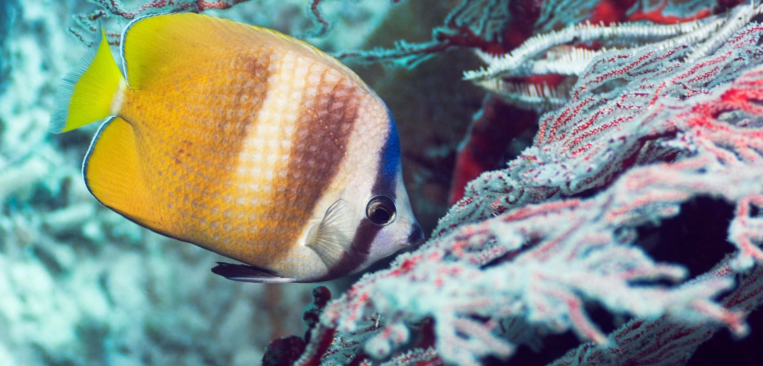 Klein's Butterflyfish (Chaetodon kleinii) feeding on polyps of gorgonian coral