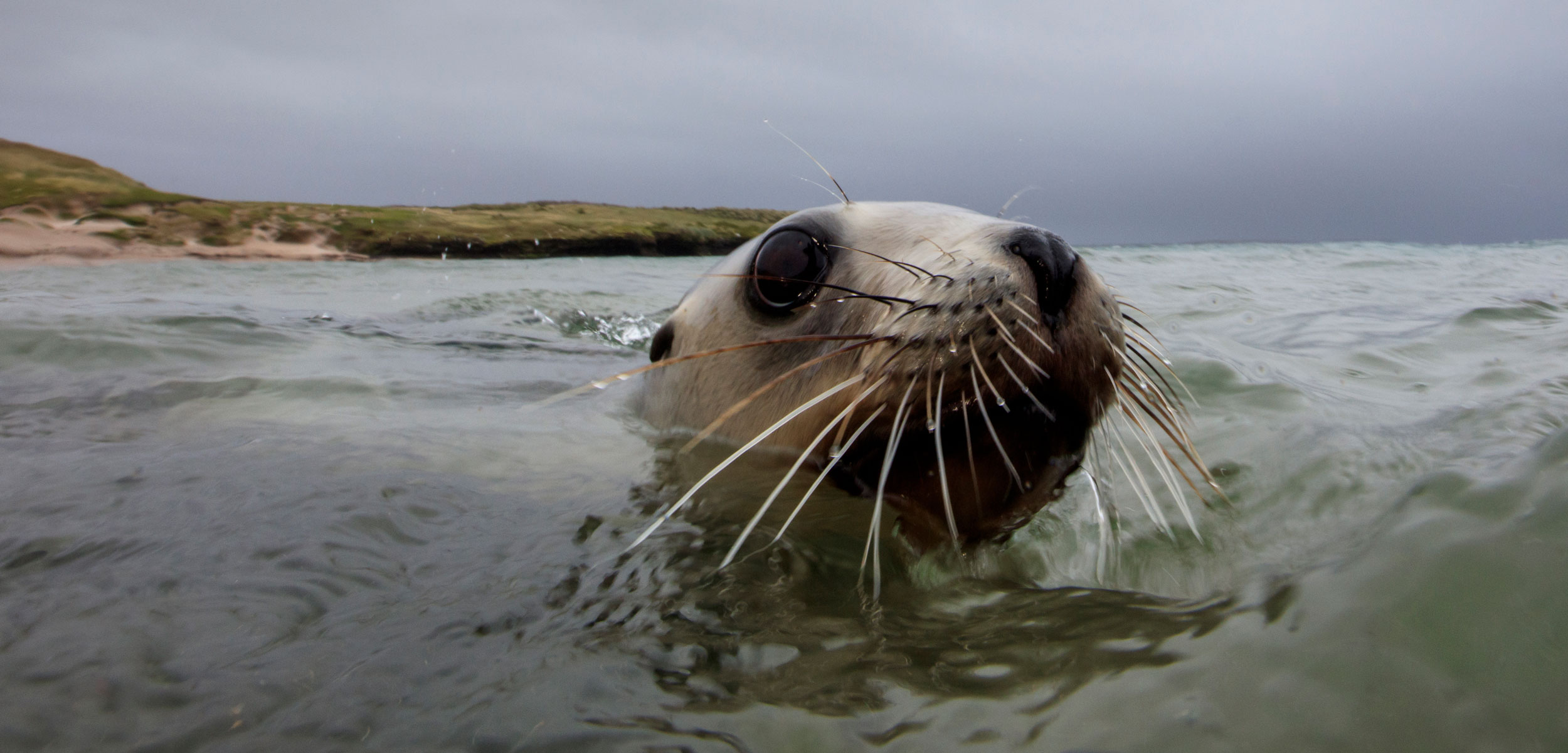 A New Zealand (Hooker's) sea lion