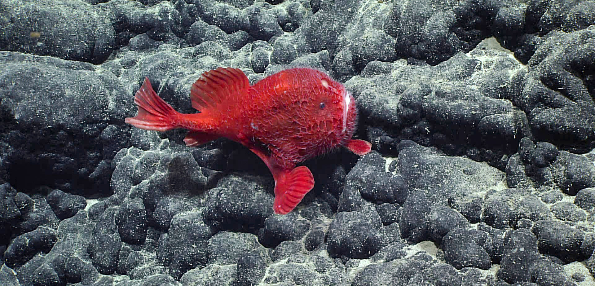 a coffinfish