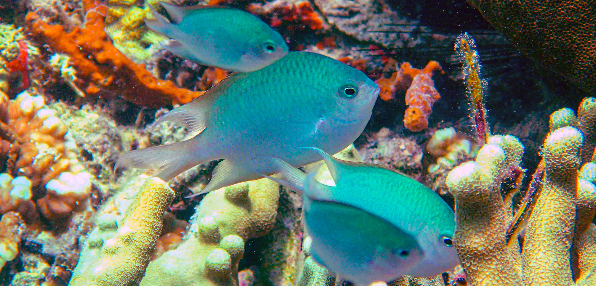Altrichthys damselfish