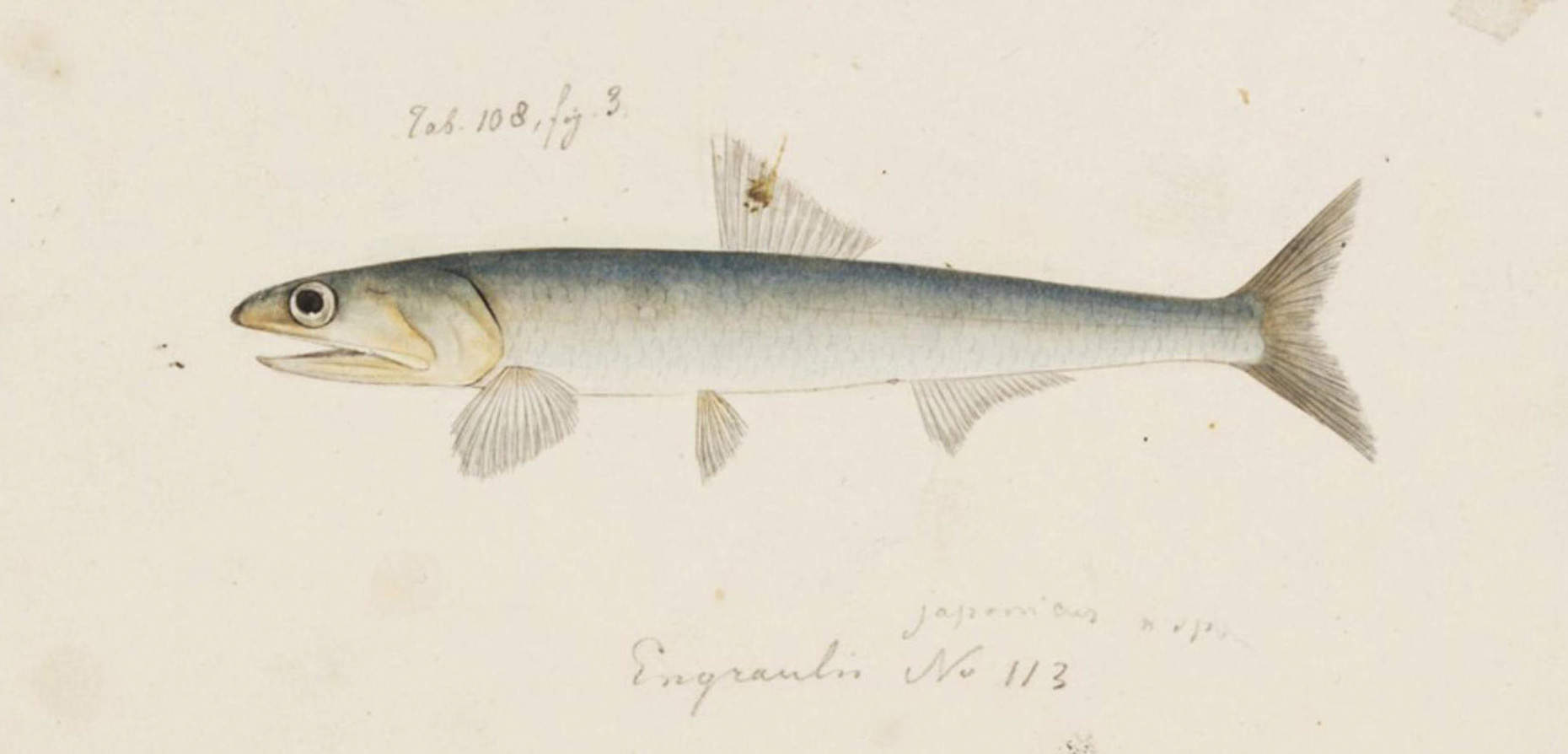 A portrait of a Japanese anchovy by Japanese artist Kawahara Keiga from the 1820s