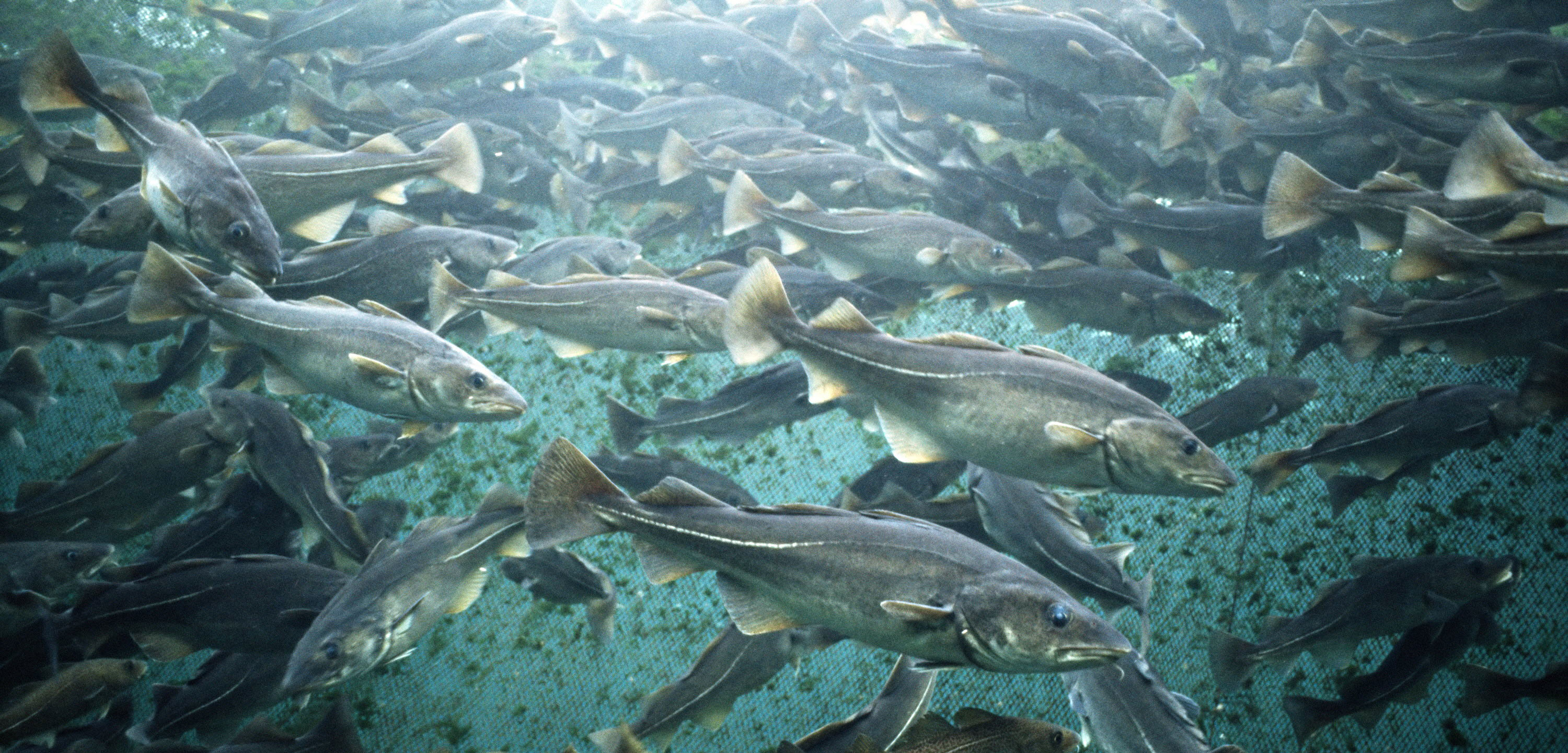 Atlantic cod (Gadus morhua) in fish farm net