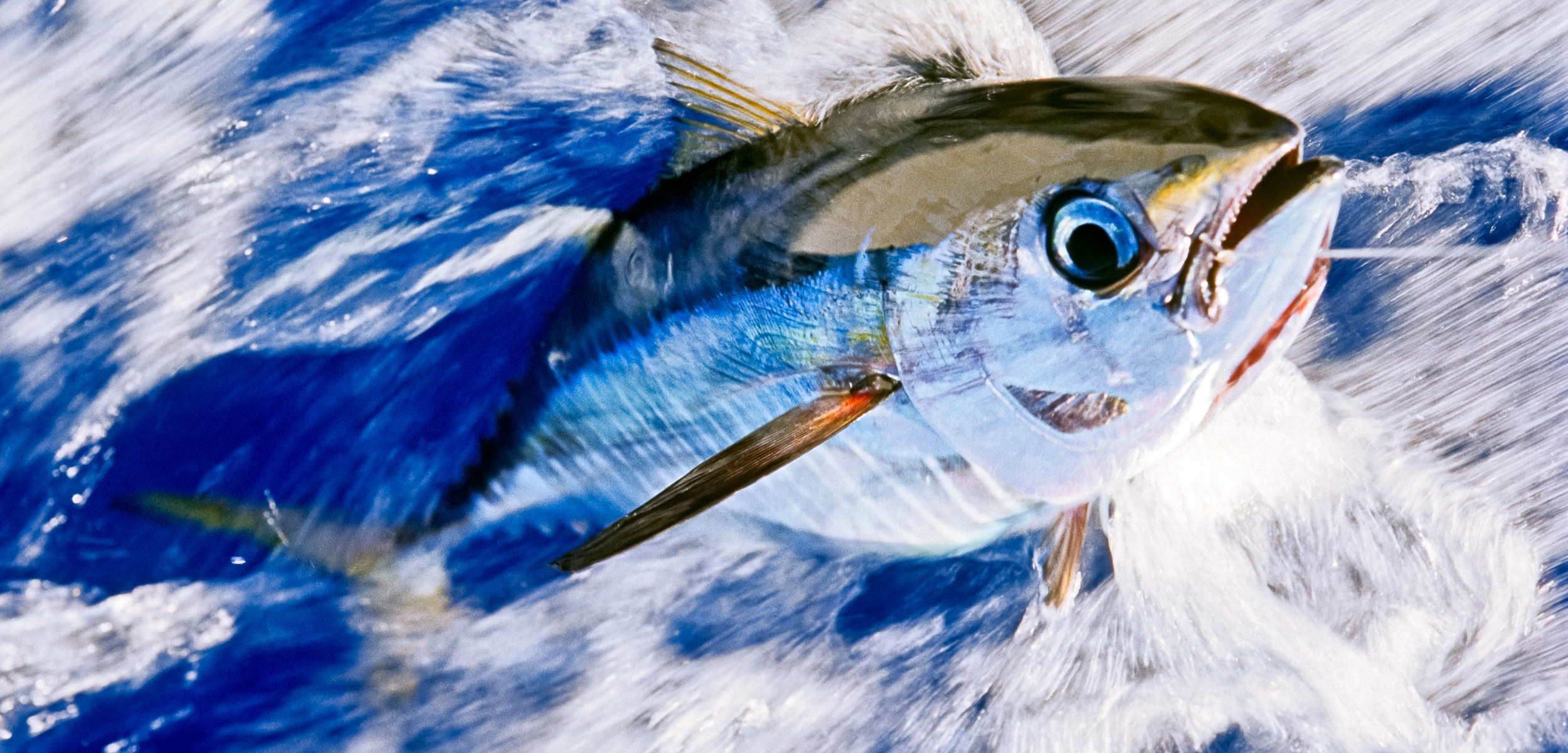 Juvenile Yellowfin tuna on line