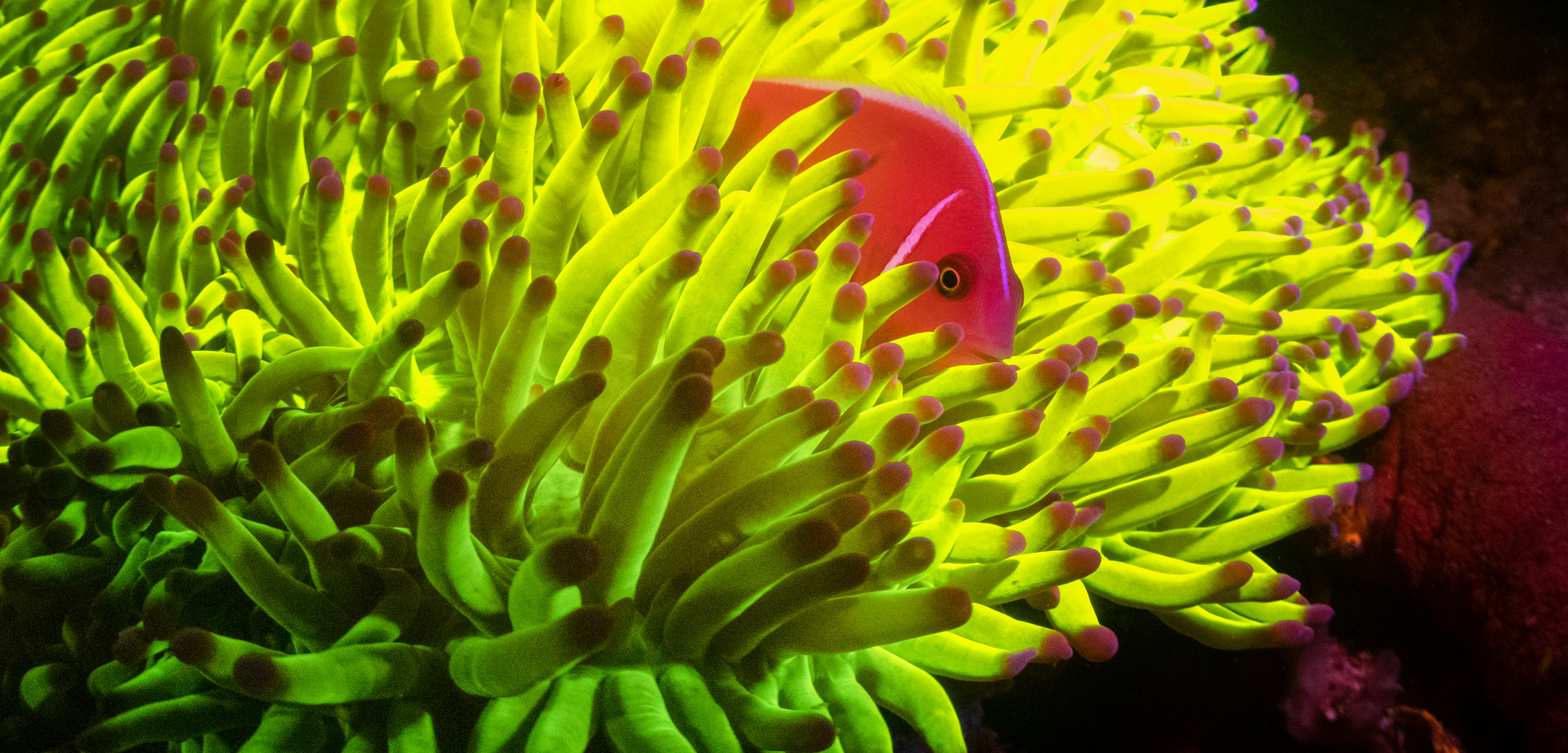 fluorescent photo of pink anemonefish