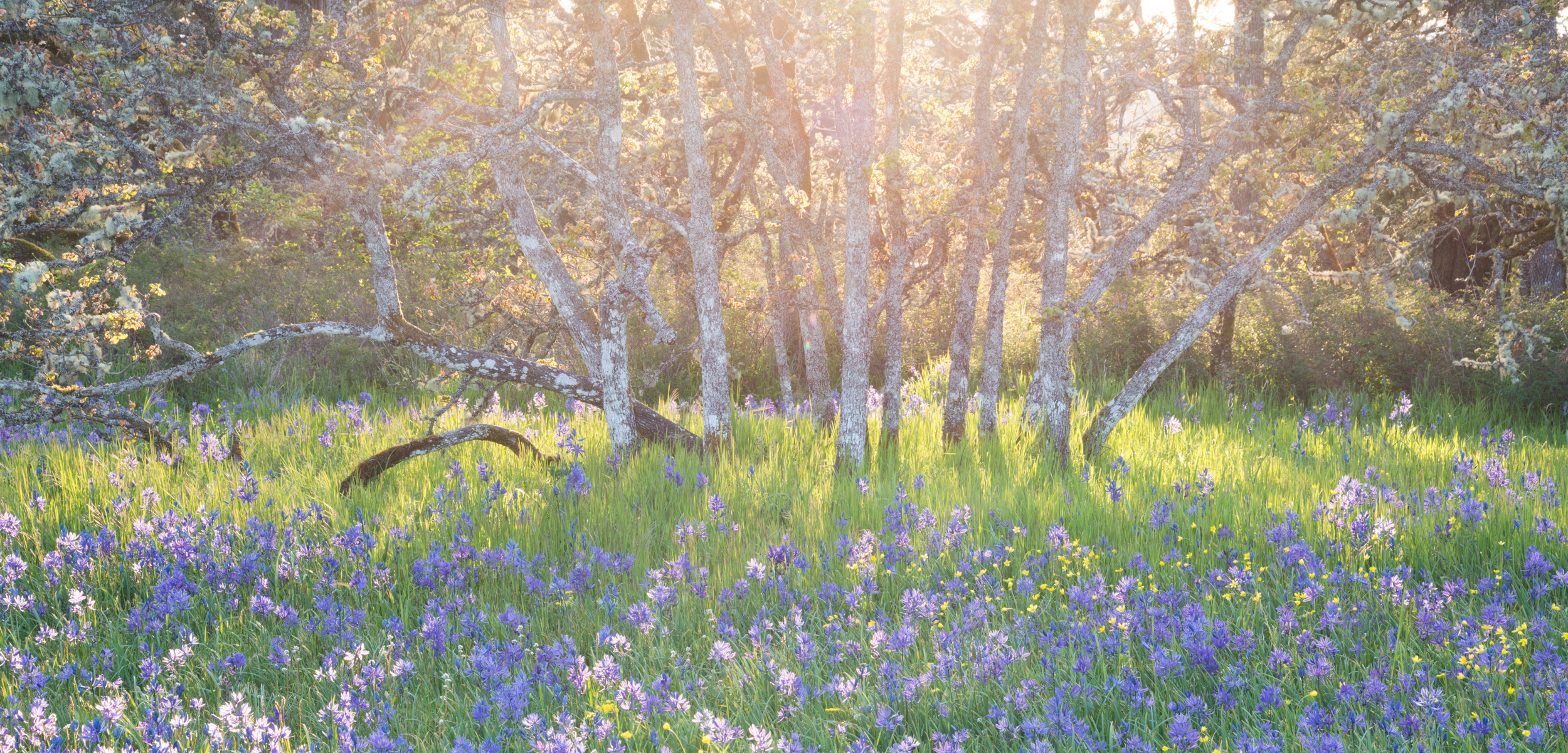 sun shines from behind garry oak trees