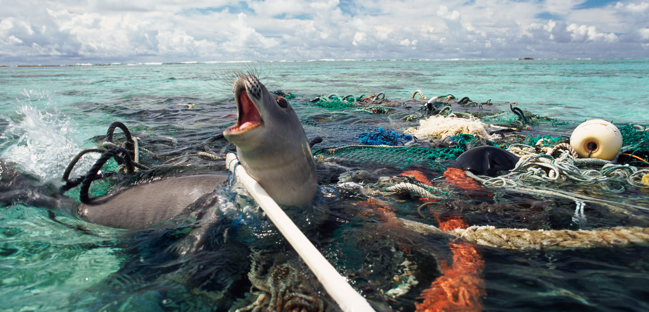 After snapping this photo in the Kure Atoll in the Pacific, the photographer freed this monk seal caught in abandoned fishing tackle. Photo by Michael Pitts/naturepl.com