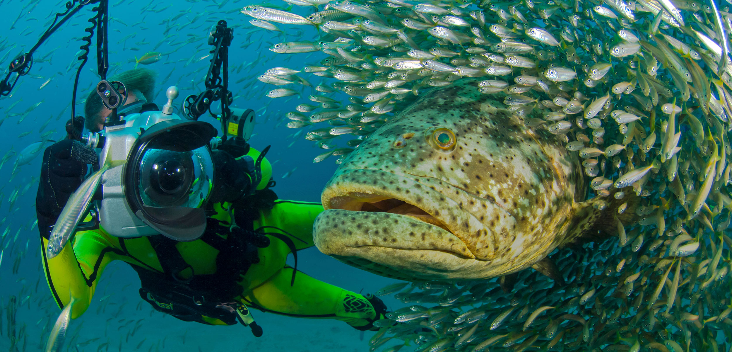 goliath grouper and diver