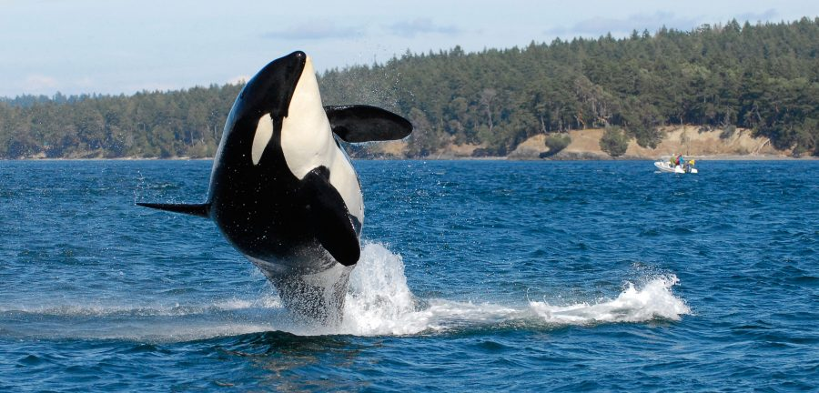 Southern resident killer whale jumping