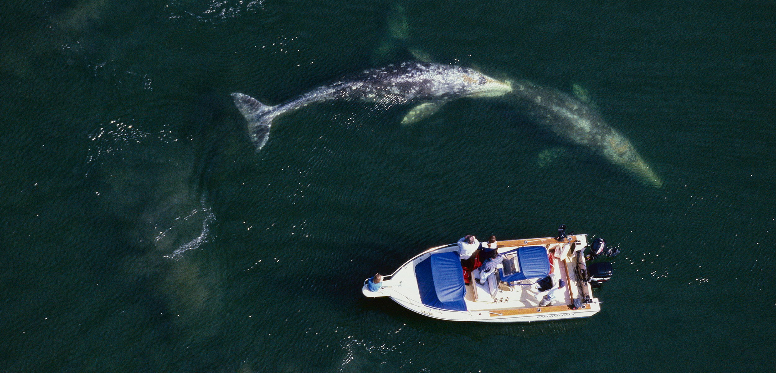 aerial photo of a boat and gray whales