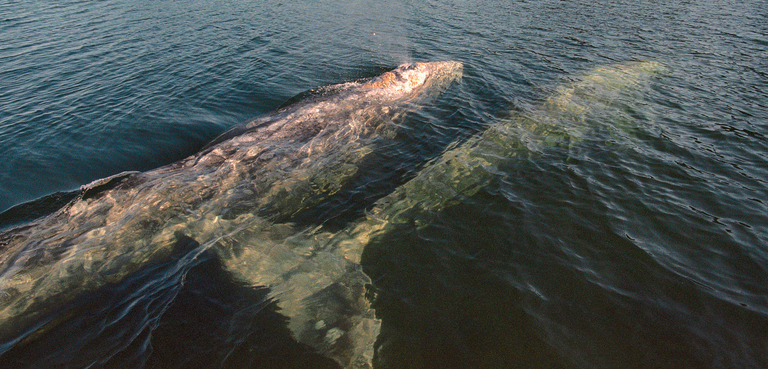 pair of gray whales