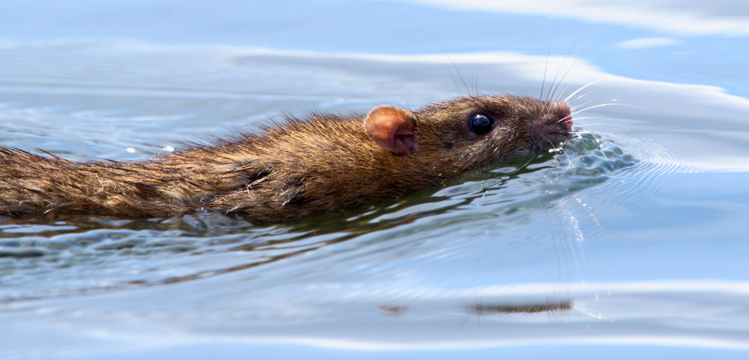 brown rat swimming