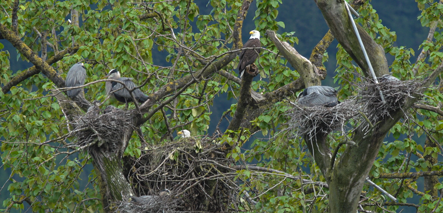eagle and heron nests beside each other