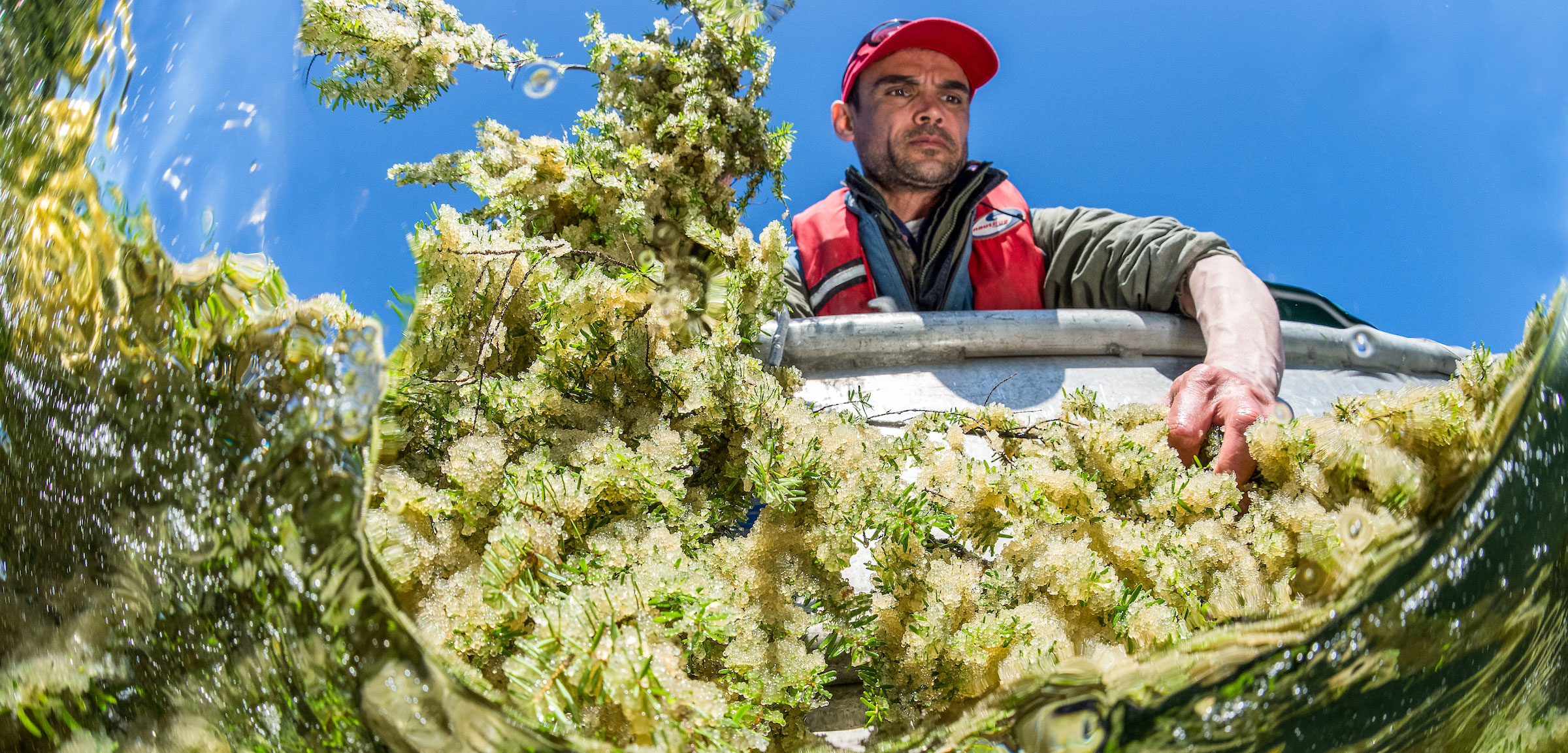 Jordan Wilson from the Heiltsuk First Nation harvests herring roe on hemlock branches.
