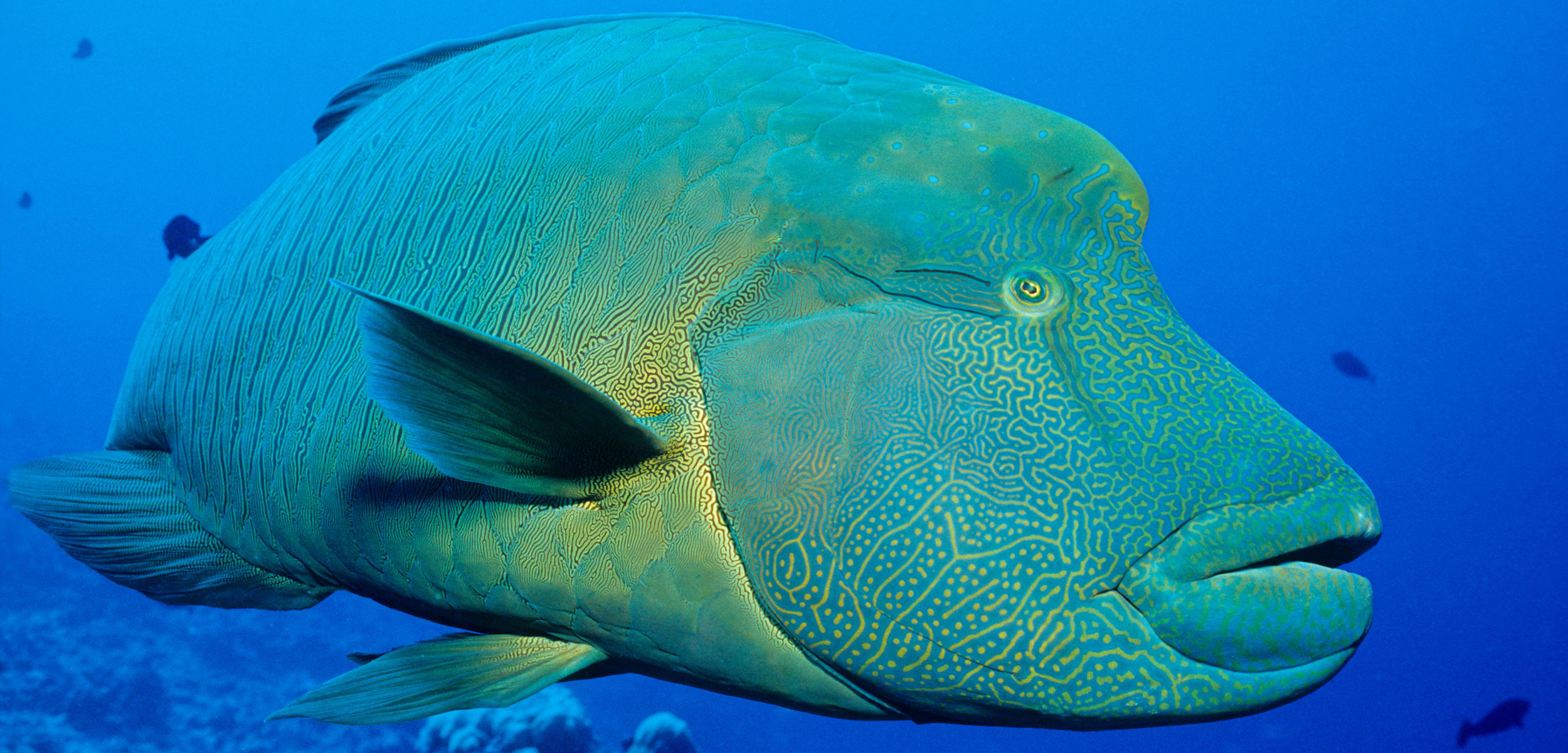 The Napoleon wrasse is a large reef fish from the Indo-Pacific region that's prized as a high-status seafood dish in Hong Kong and Mainland China. Photo by WaterFrame/Alamy Stock Photo