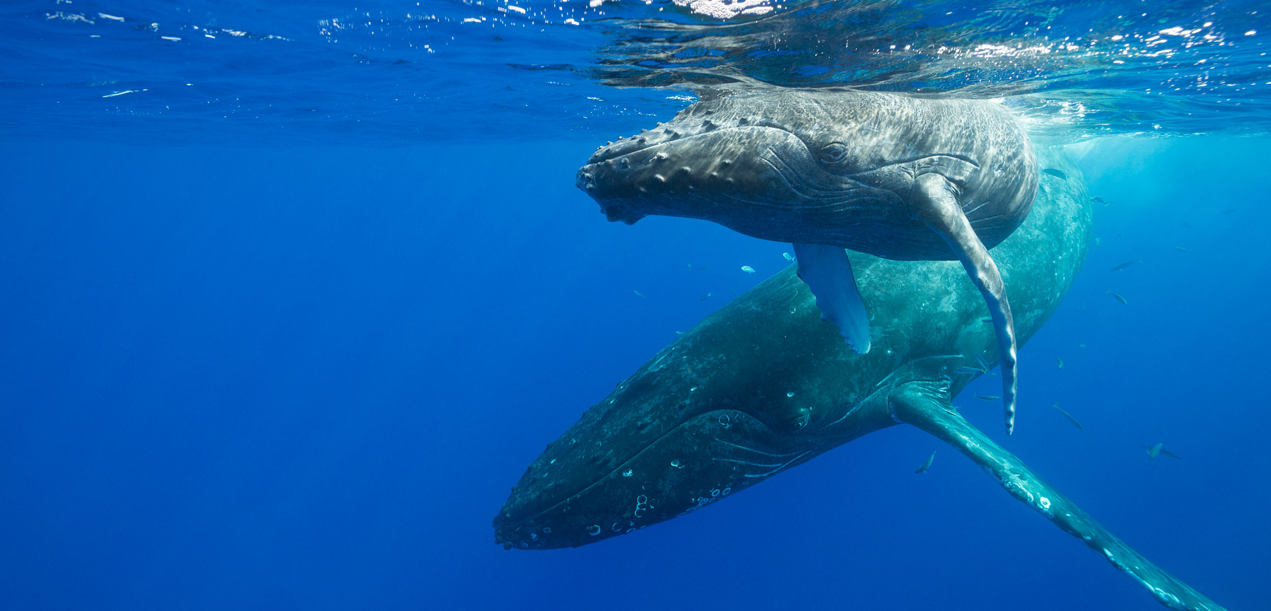 humpback whales, Hawaii