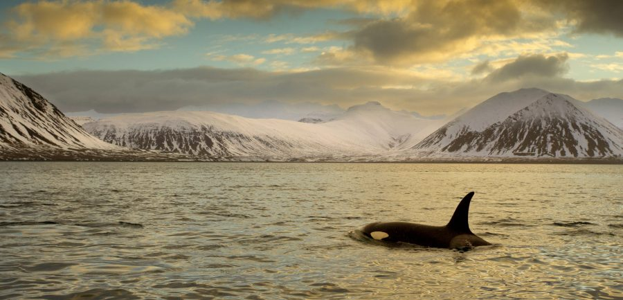 killer whale in iceland