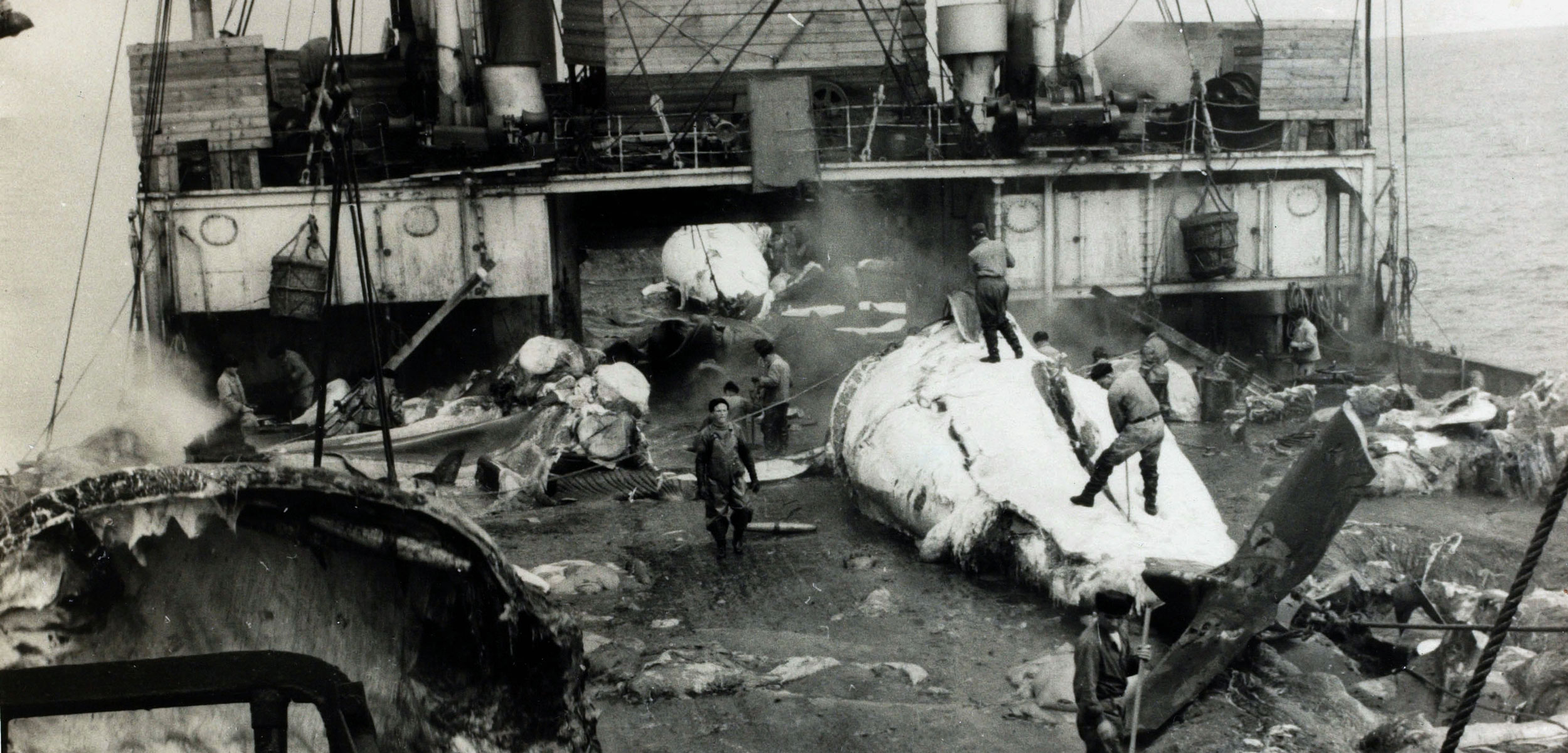 Whales being butchered on the deck of a Soviet whaling ship