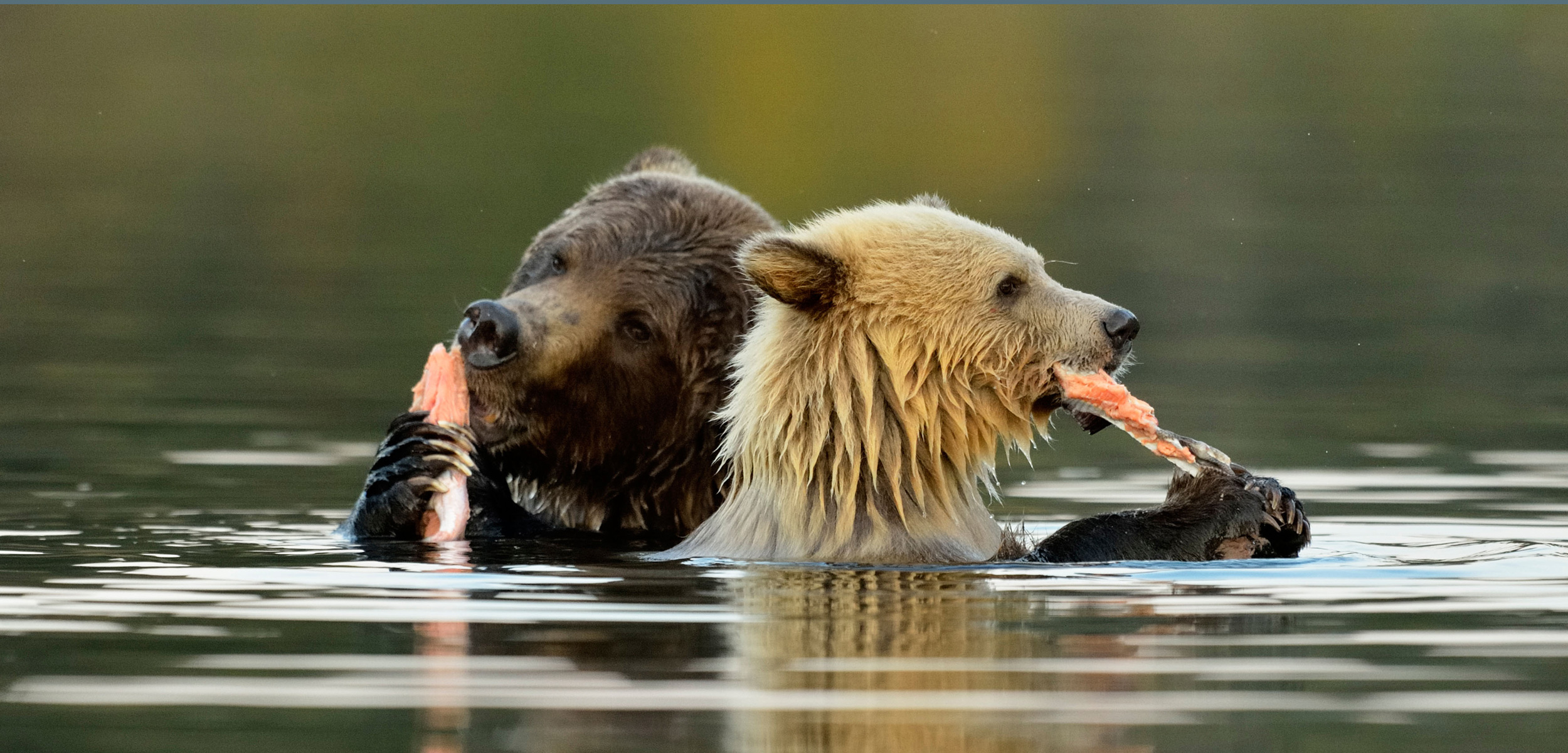 Across coastal British Columbia, and even far inland, bears rely on nutrient- and fat-rich salmon. Don Johnston_WC/Alamy Stock Photo