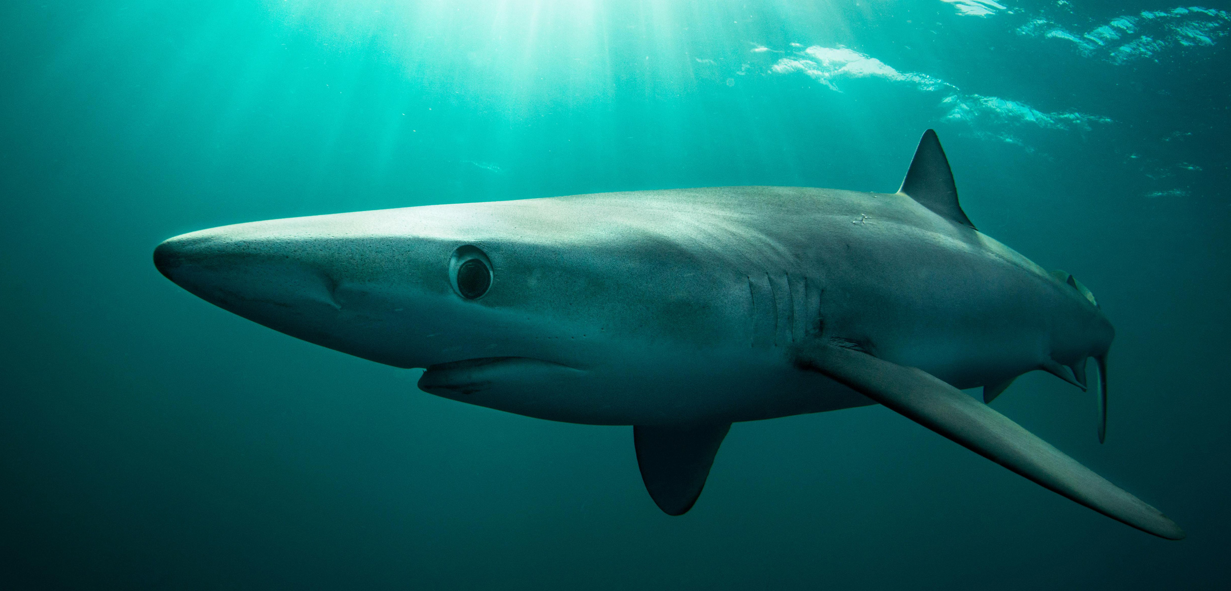 a blue shark underwater