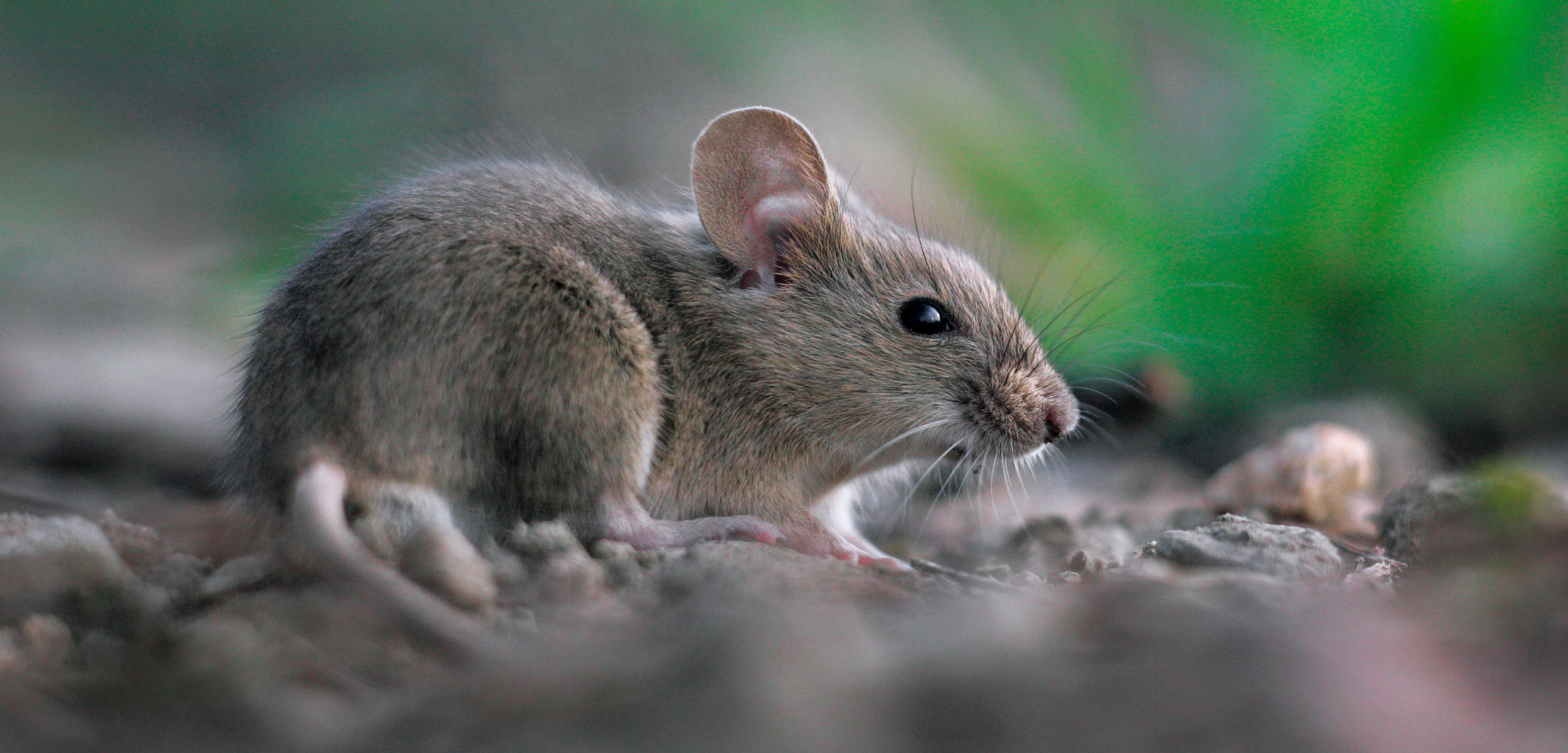 How A Handful Of Mice Take Over An Island Hakai Magazine