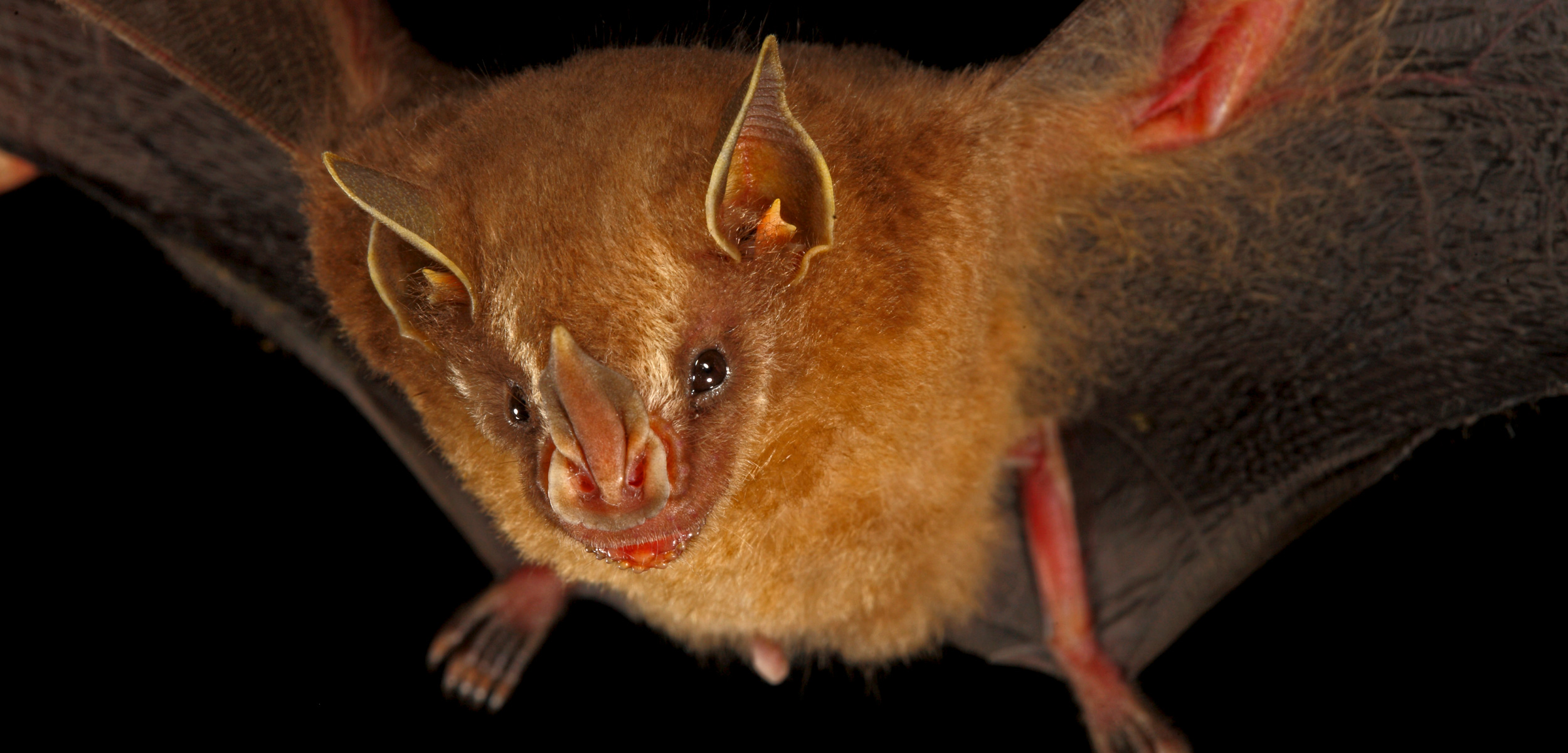 Thomas's Fruit-eating Bat (Artibeus watsoni) with wings spread