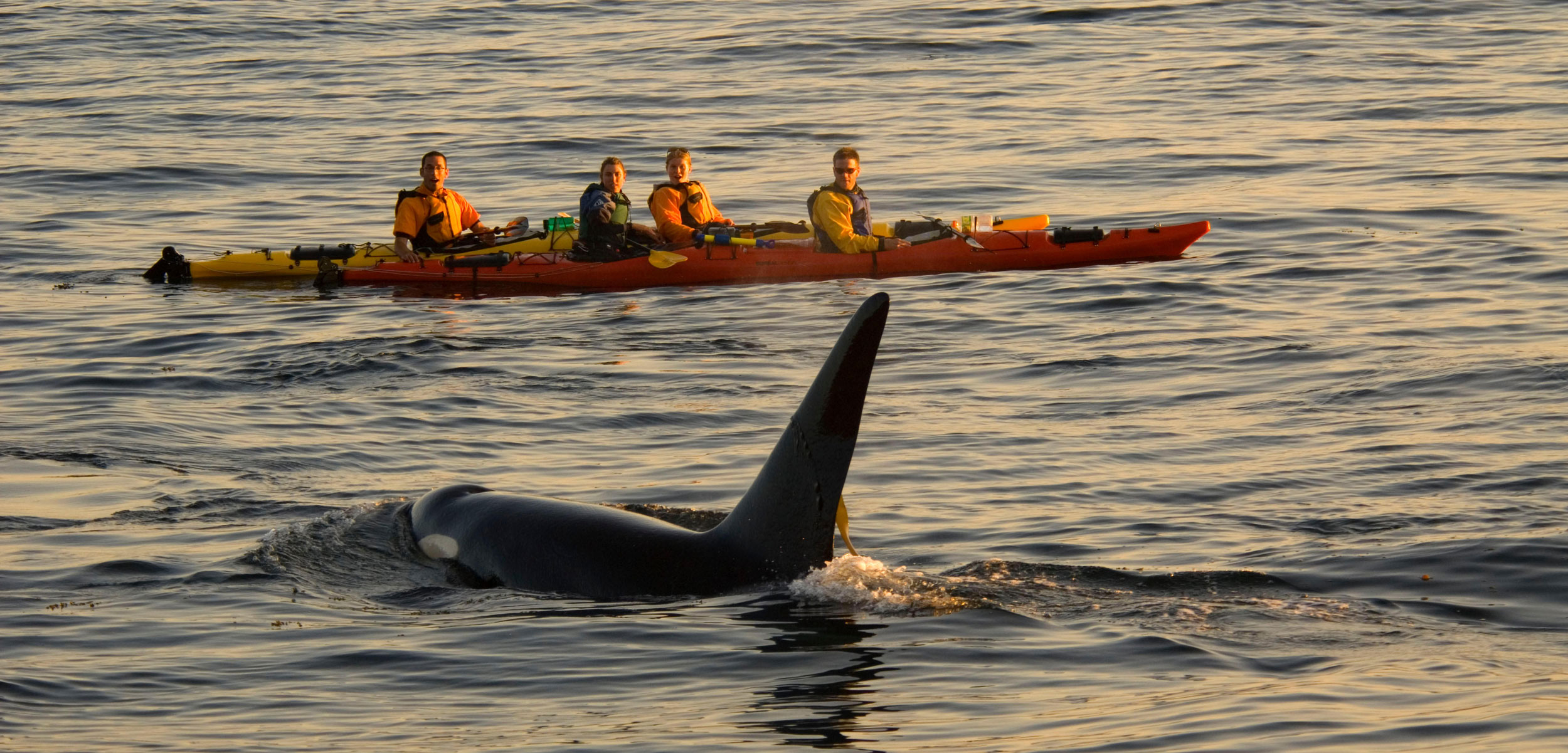 A killer whale surfacing near kayakers in the Salish Sea