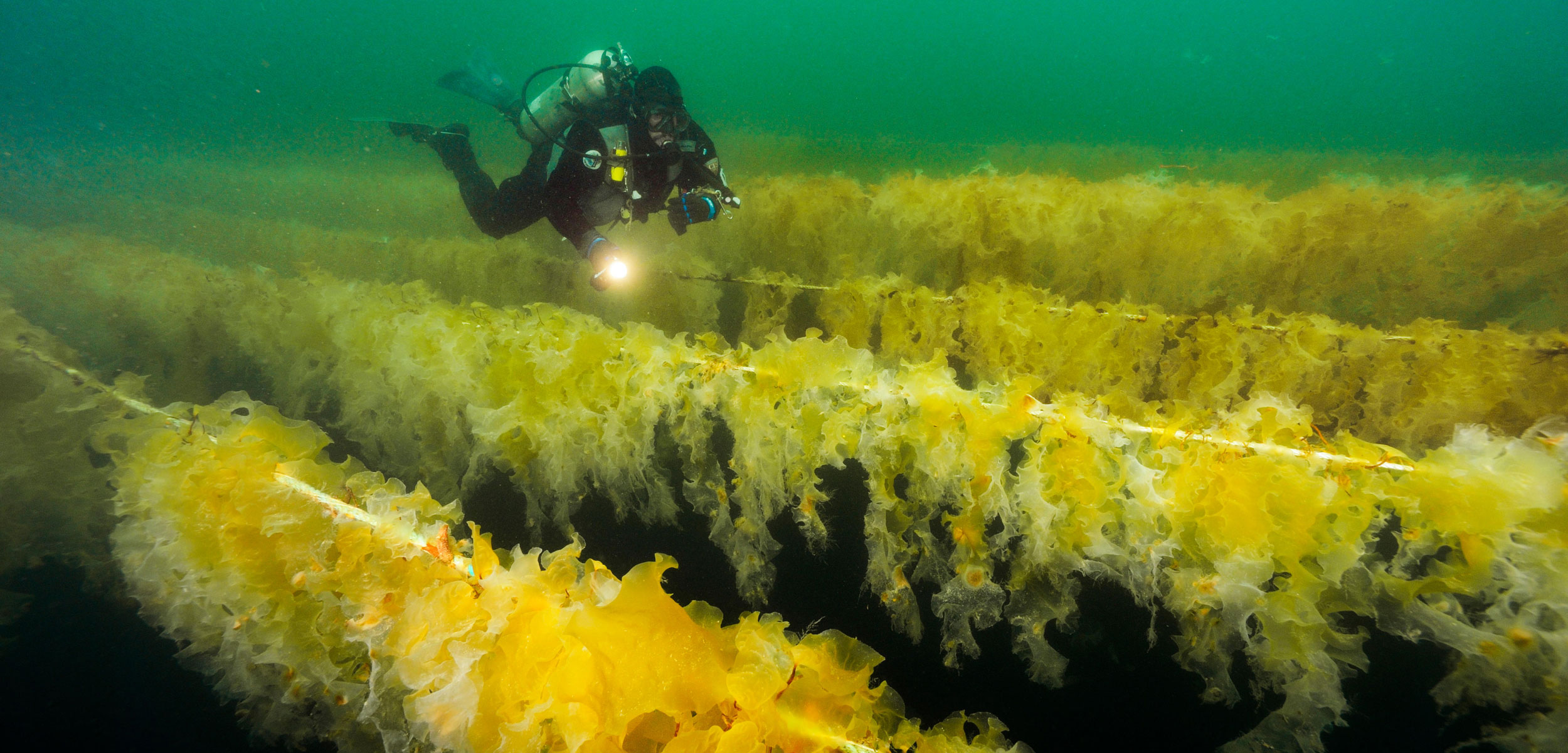 diver inspects kelp farm
