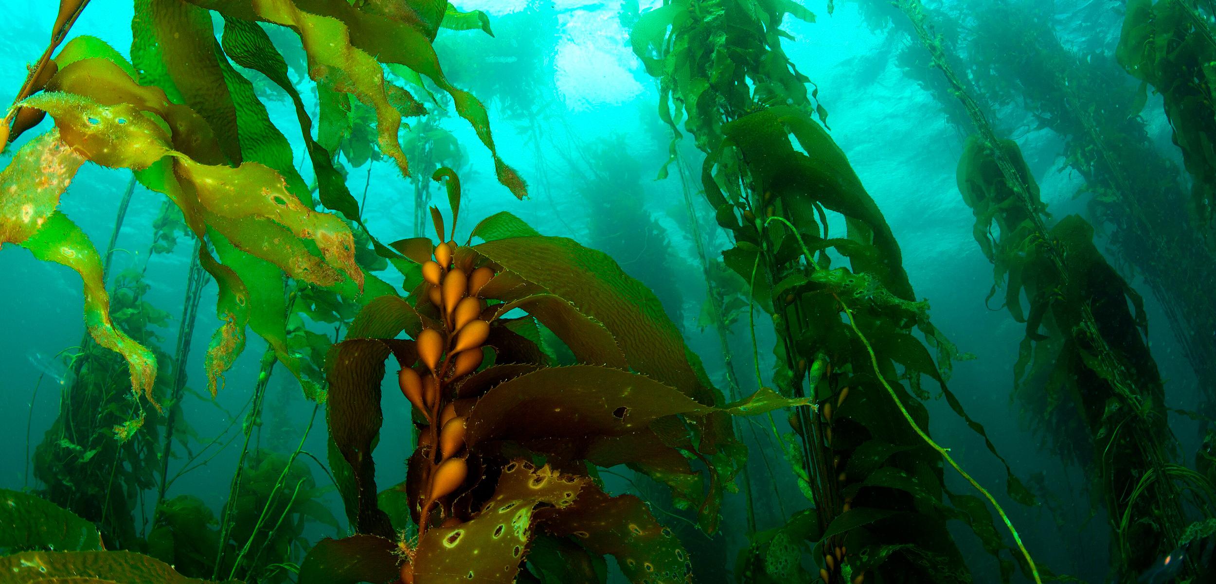 kelp forest, Tasmania