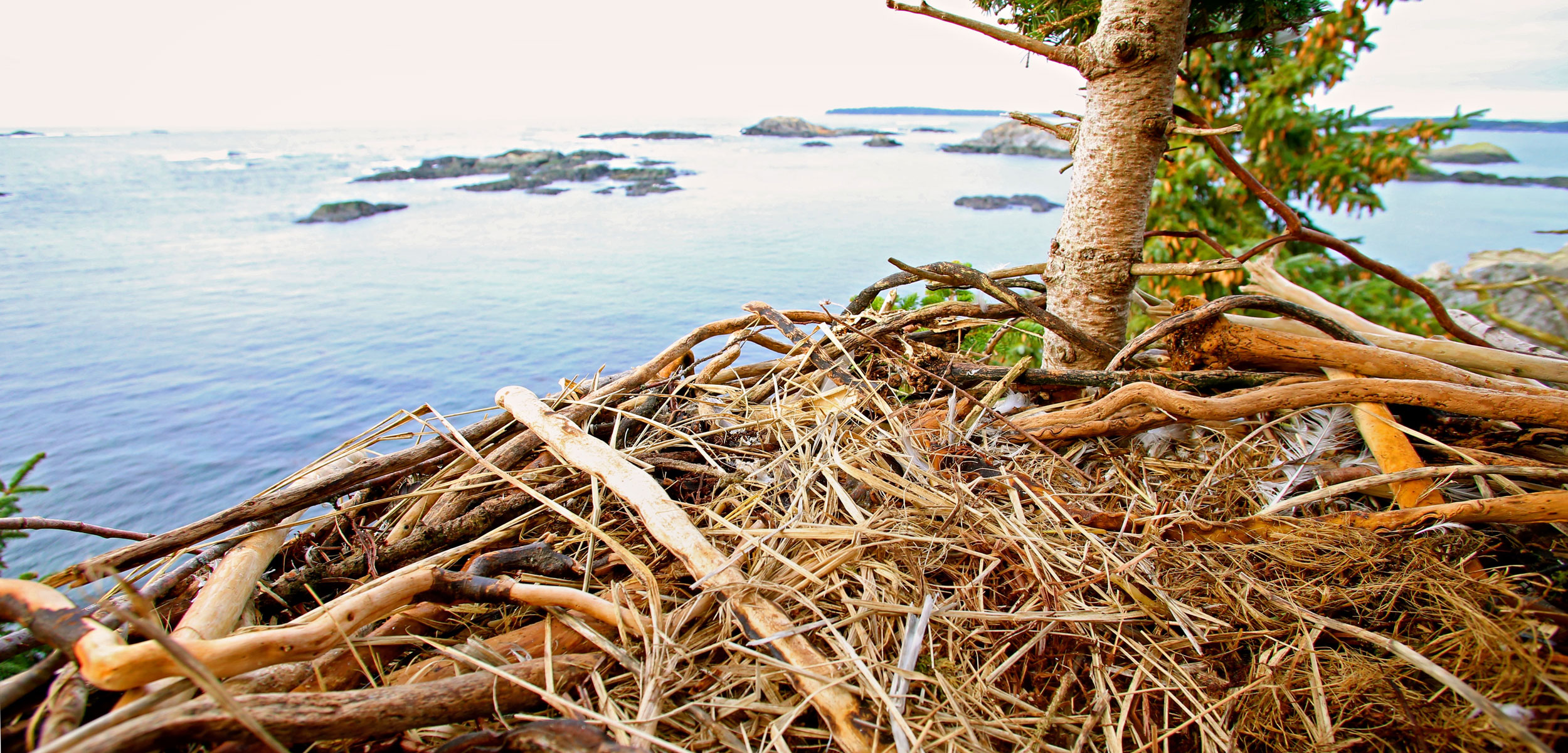 The bald eagle's nest was built in part from hardy strands of Pterygophora kelp. Photo by Erin Rechsteiner/Hakai Institute