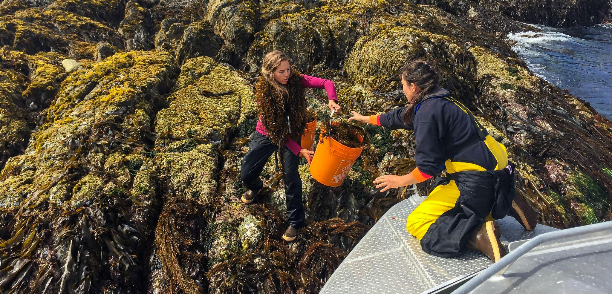 Two women passing a bucket of seaweed to eachother.