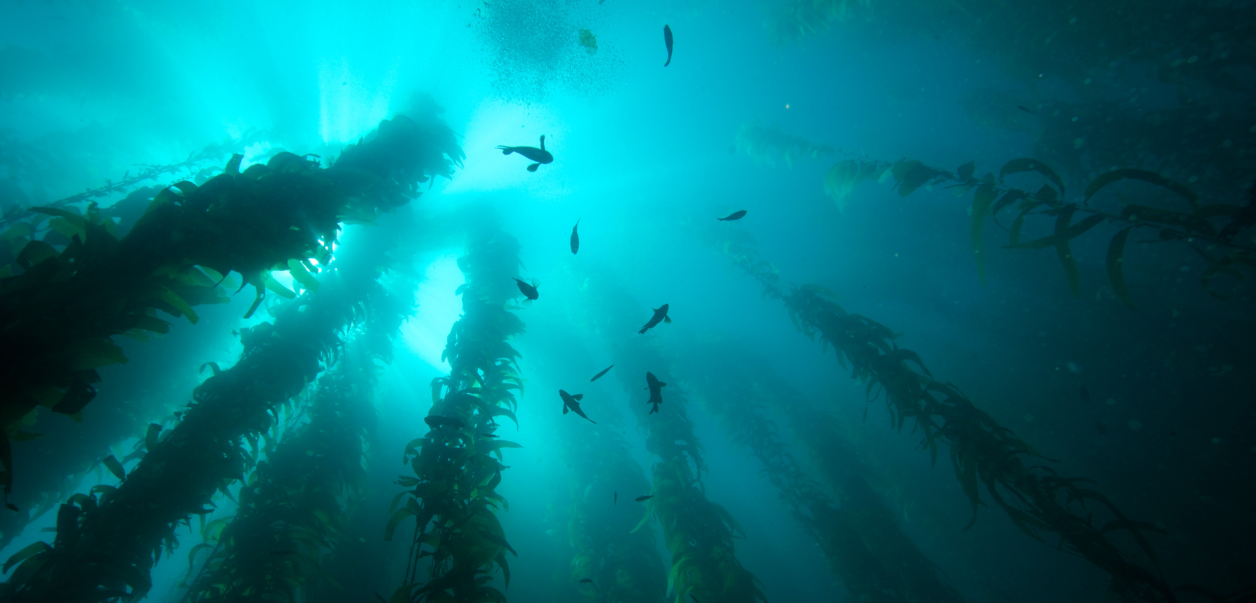 fish swim amongst giant kelp