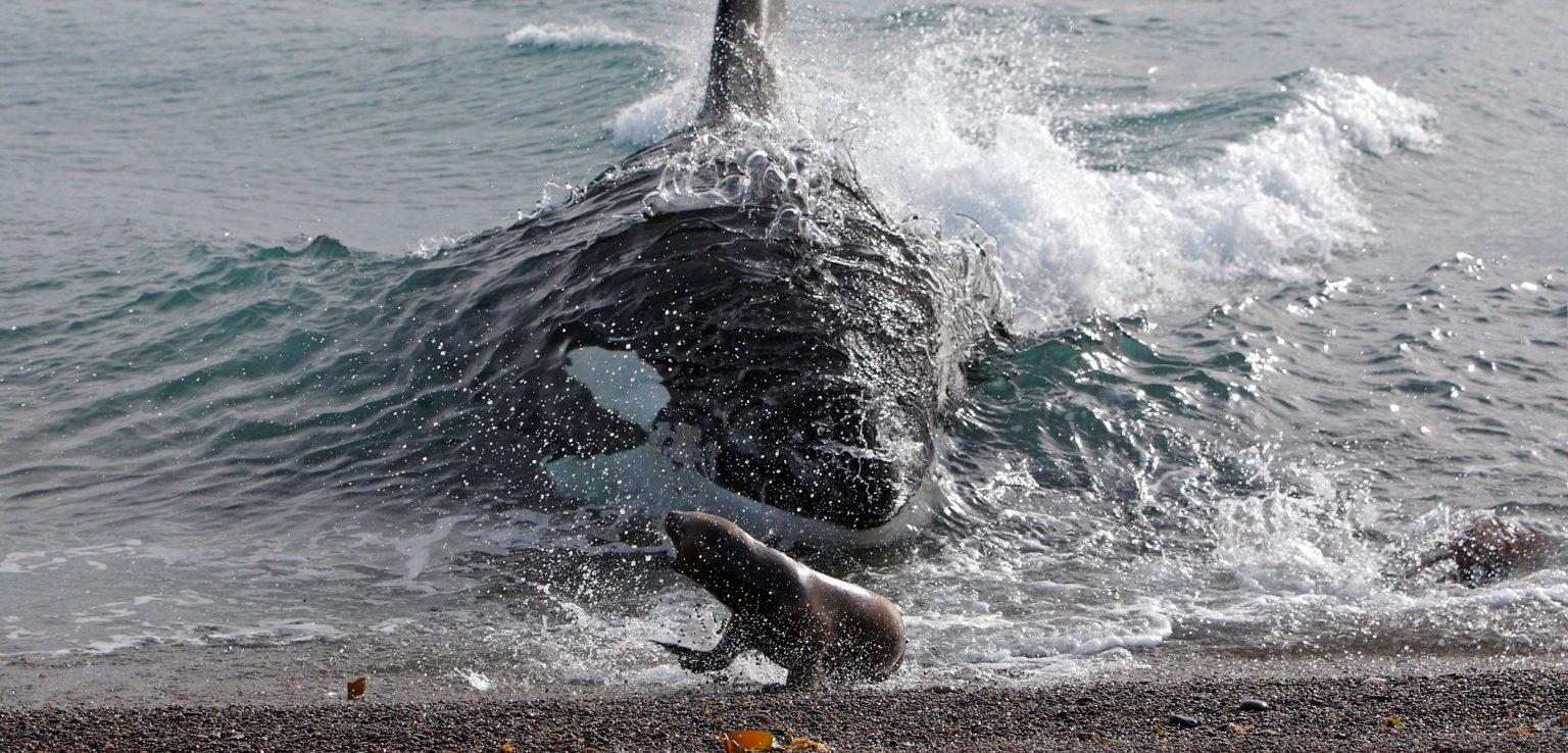https://www.hakaimagazine.com/wp-content/uploads/header-killer-whale-intentional-stranding-1536x738.jpg