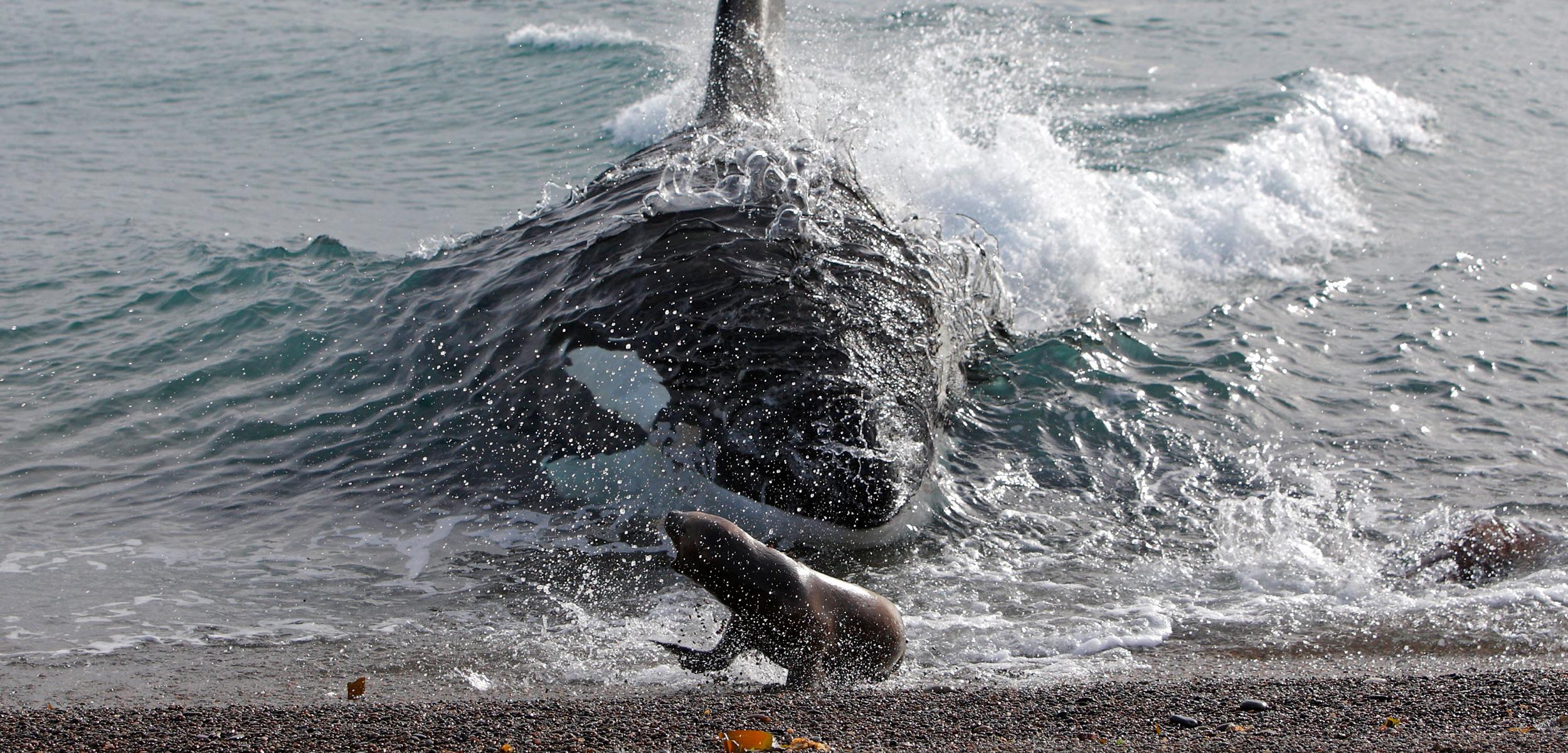 header-killer-whale-intentional-stranding.jpg